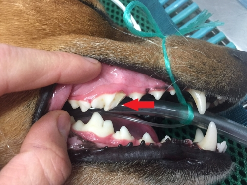 A fractured carnassial tooth, likely caused by chewing on an angled or cut bone.