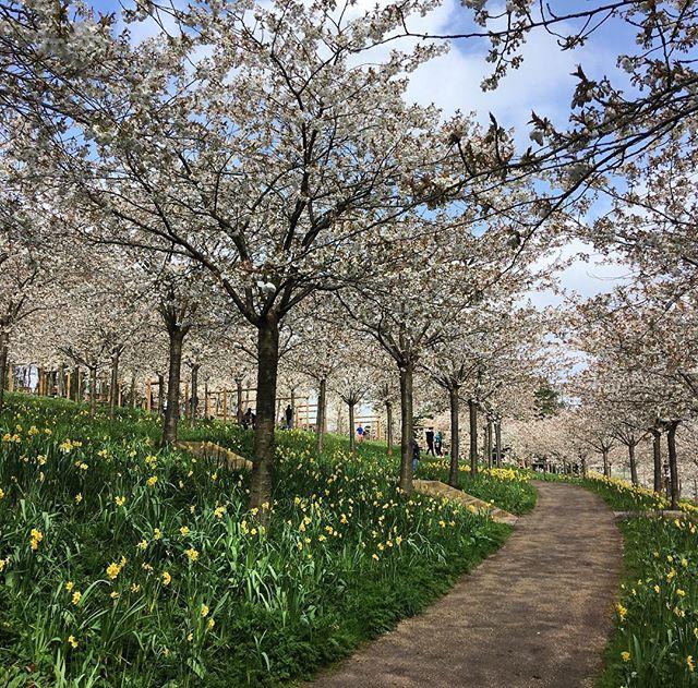 Happy Easter!  #cherryblossom #prunustaihaku #blossom #alnwickgardens #dayslikethese #easter