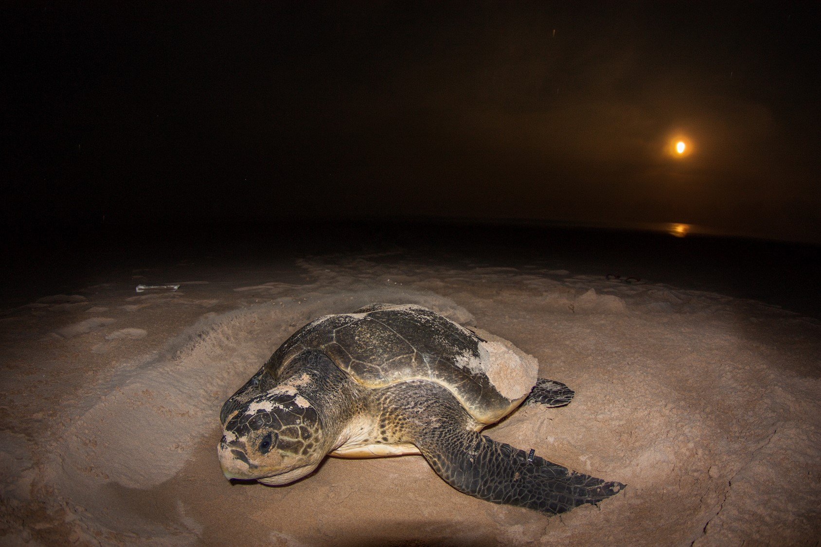 ii/ A nesting turtle