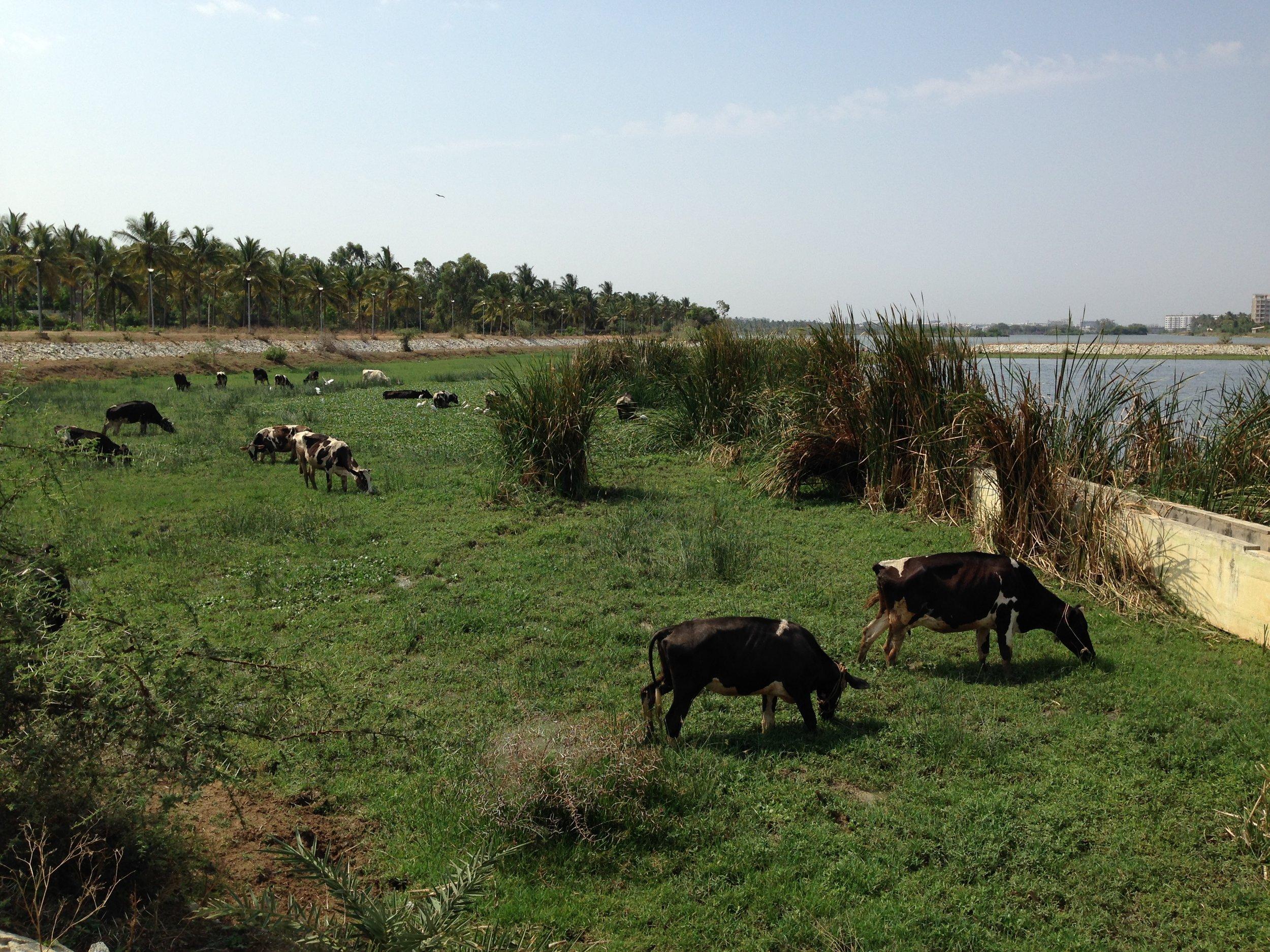 Cows grazing by Jakkur Lake in Bangalore.