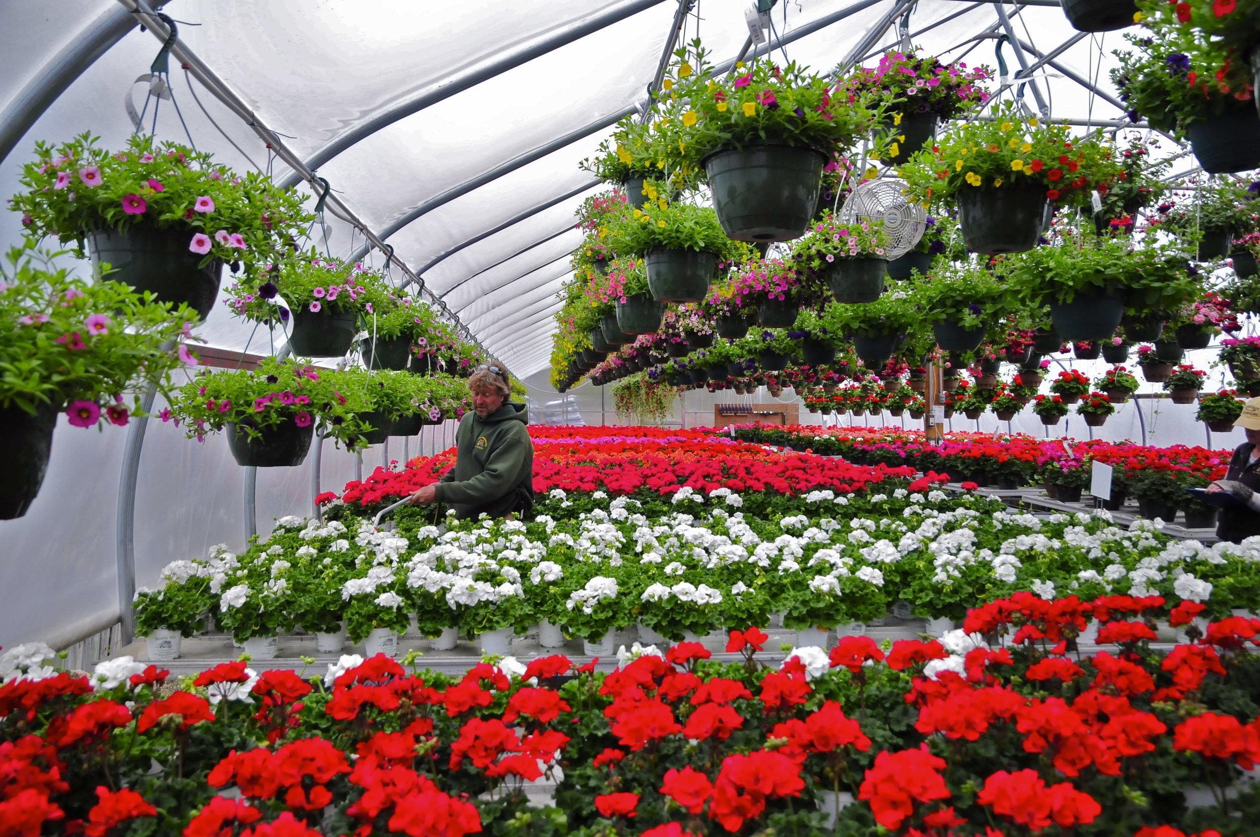 Propagation of geraniums at Shady Hills Nursery in Elburn