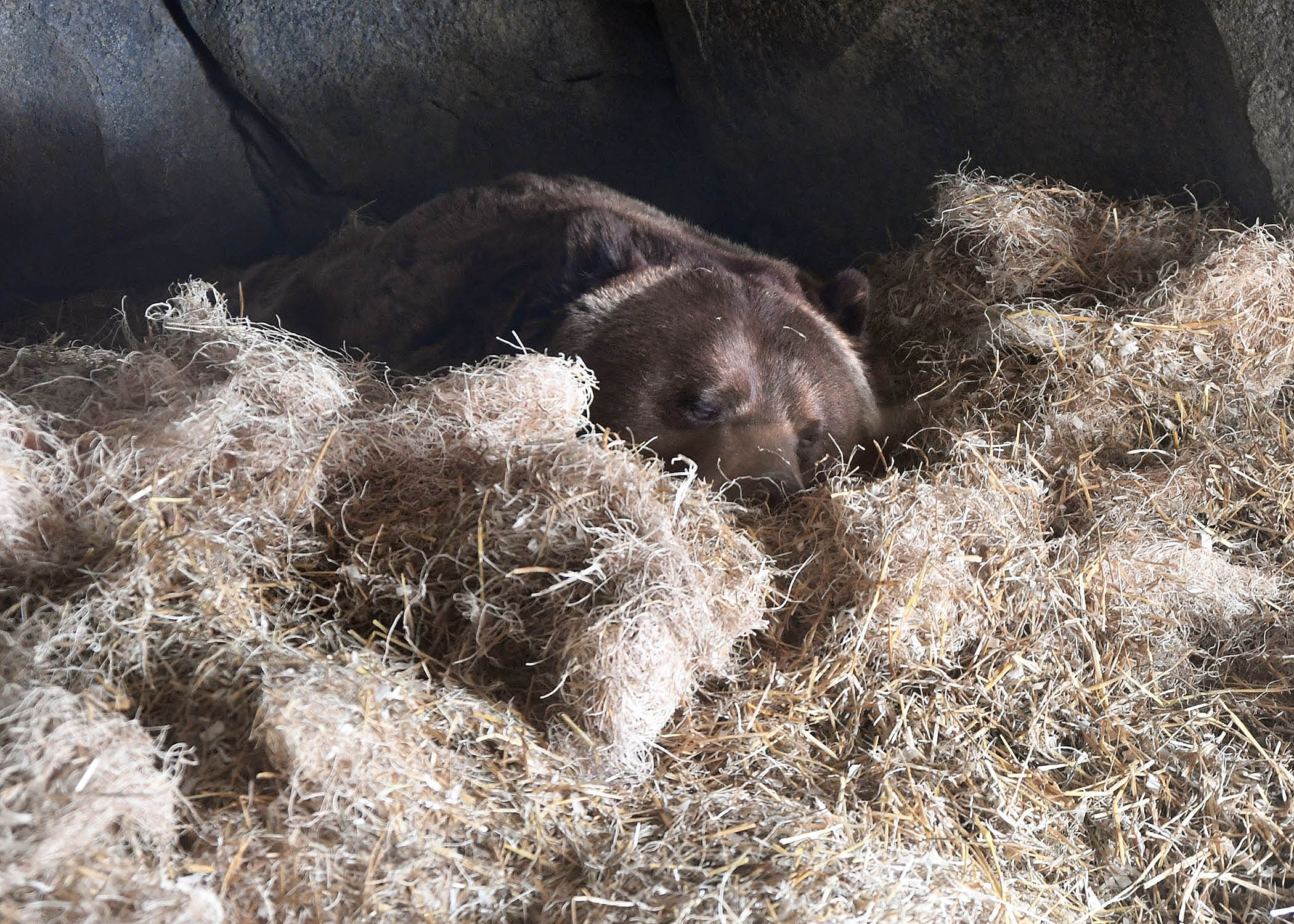 Brookfield Zoo's brown bear sleeping through the winter months Photo courtesy of Brookfield Zoo