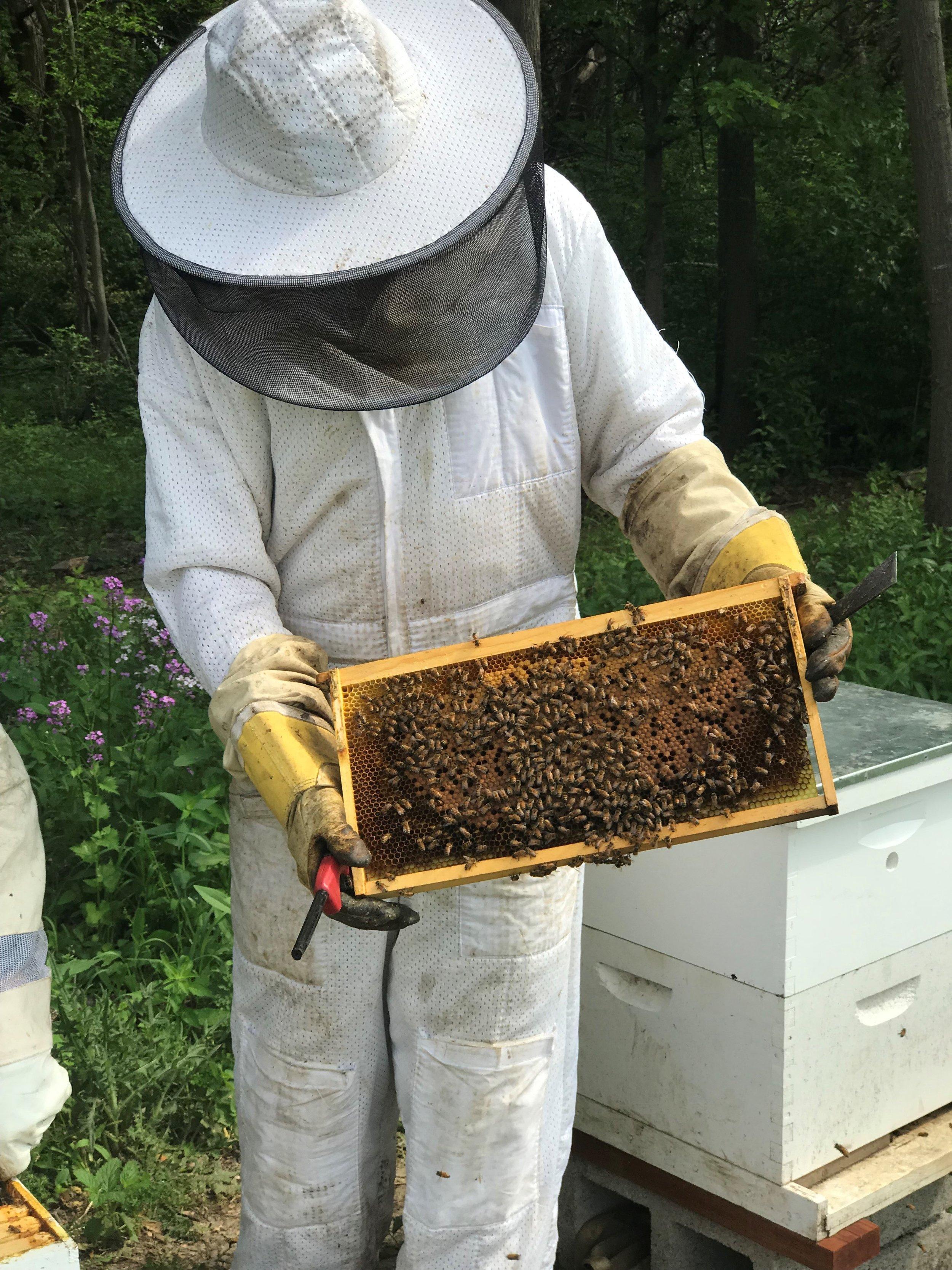 Bee keeper Mike Bock examines the health of COD's honeybees