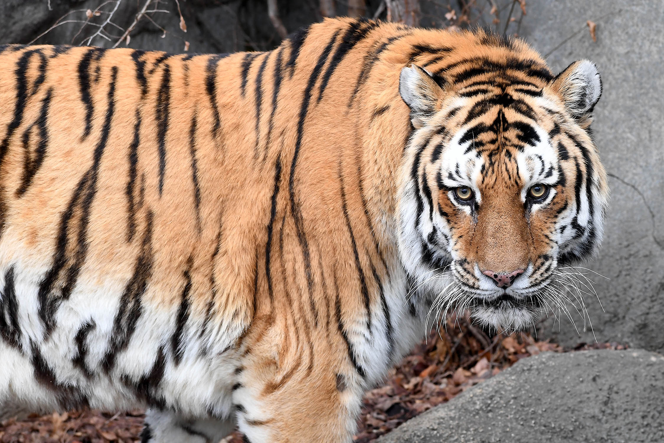 Brookfield Zoo's male tiger Foli (photo courtesy of Chicago Zoological Society)
