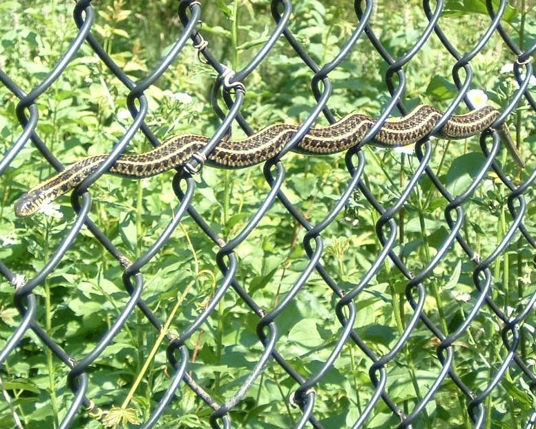 Garter snakes are the most commonly seen snake in DuPage County and they can be a great addition to your backyard garden (image courtesy of the DuPage Forest Preserve District)
