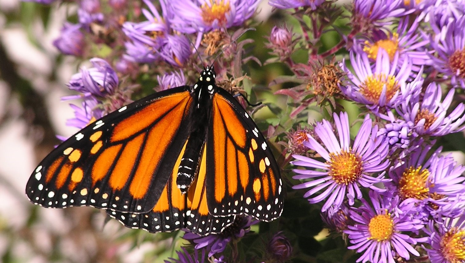 With cooler weather just around the corner, Monarch butterflies in the upper Midwest are fueling up for their trip to central Mexico