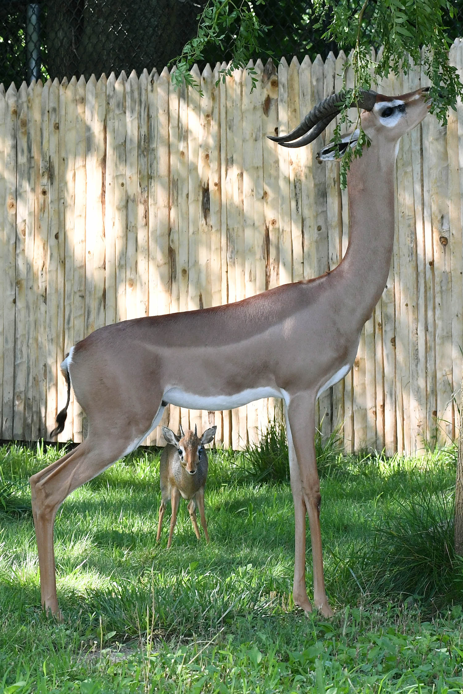Brookfield Zoo has two small antelope species on display. The Gerenuk uses its long neck to reach vegetation other animals can't reach. Meanwhile the tiny DikDik relies on finding food closer to the ground (Photo Courtesy of Brookfield Zoo)