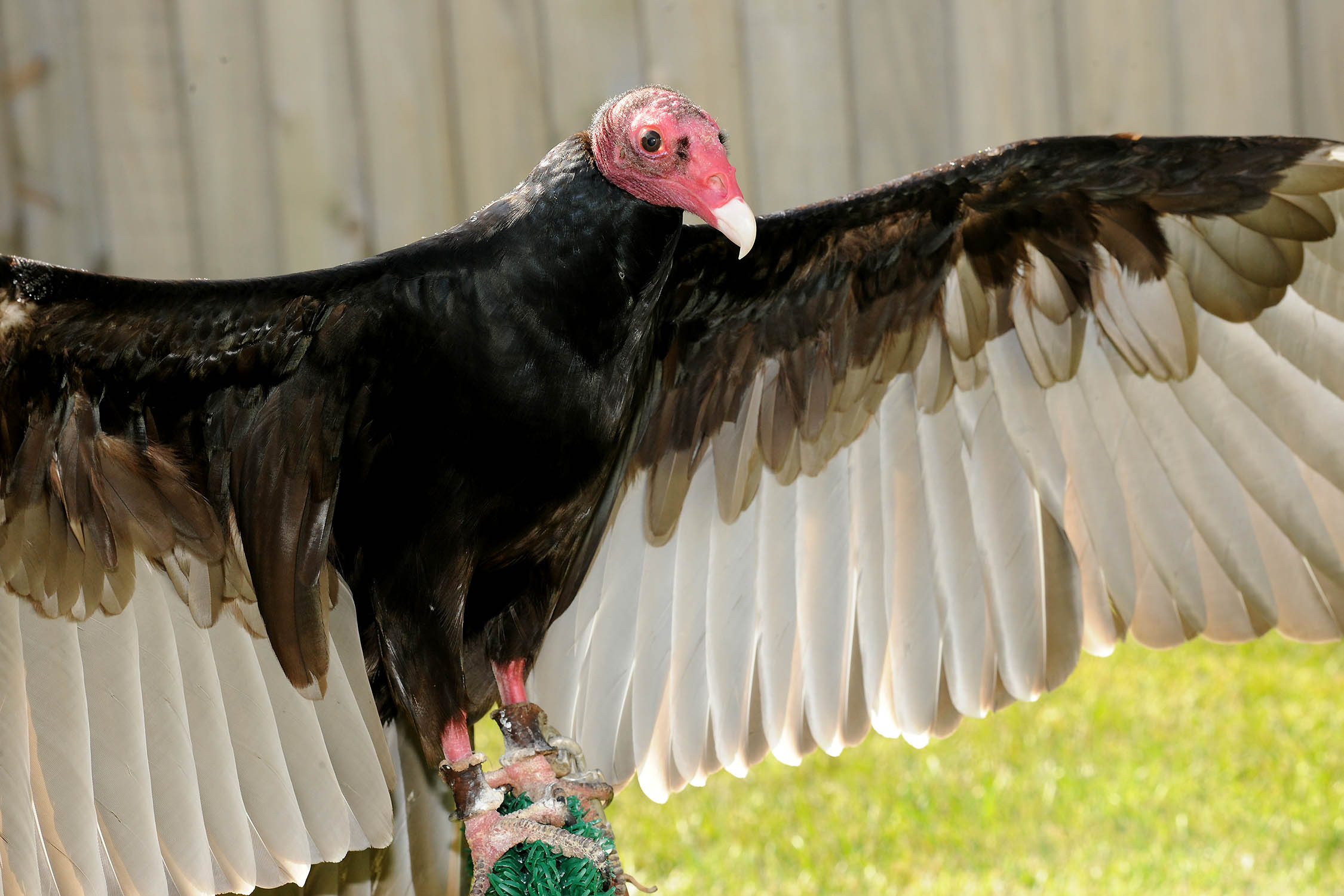 Georgette, the turkey vulture shows off her four foot wingspan at Brookfield Zoo (photo courtesy of Brookfield Zoo)