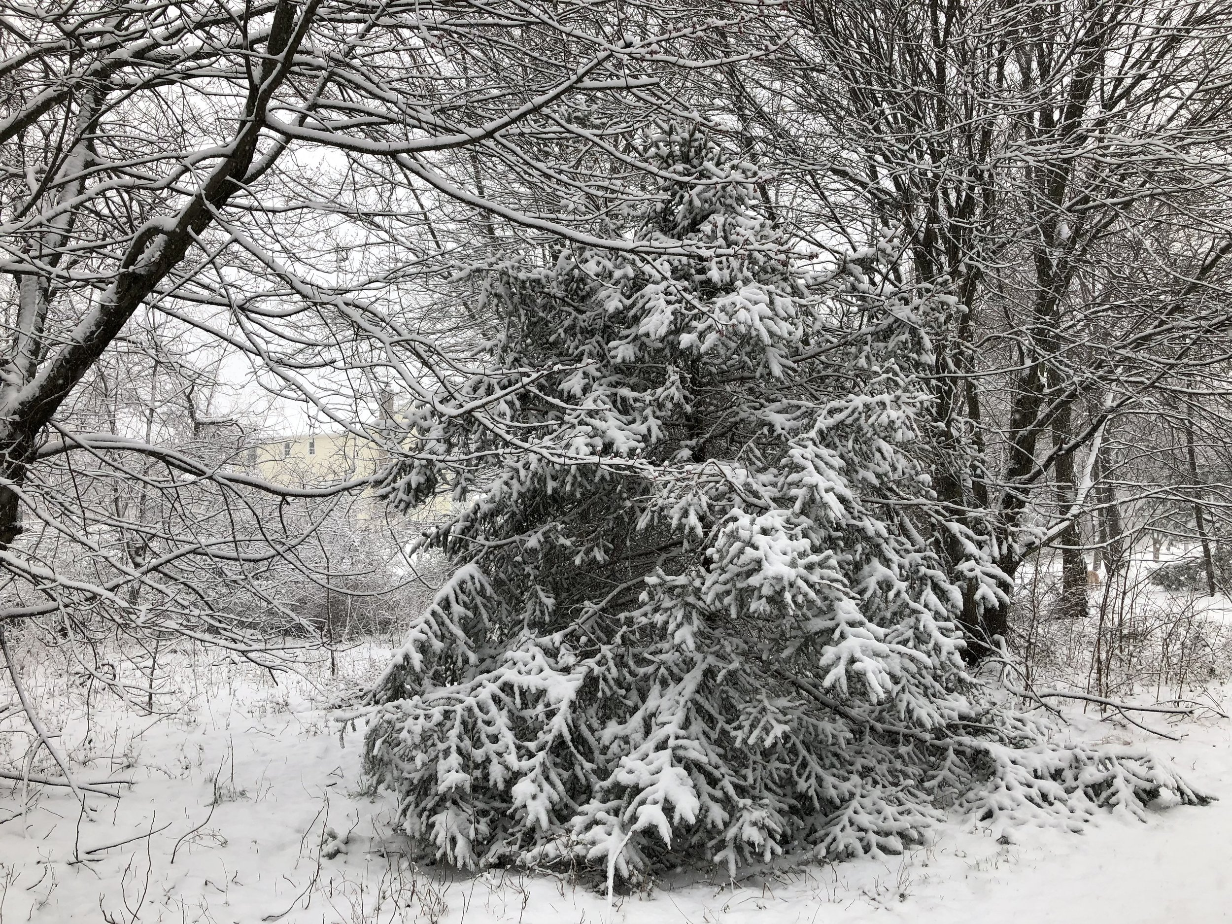 University of Illinois Extension educator Richard Hentschel suggests leaving snow to slowly melt off trees and shrubs rather than attempting to clean if from frozen and brittle branches