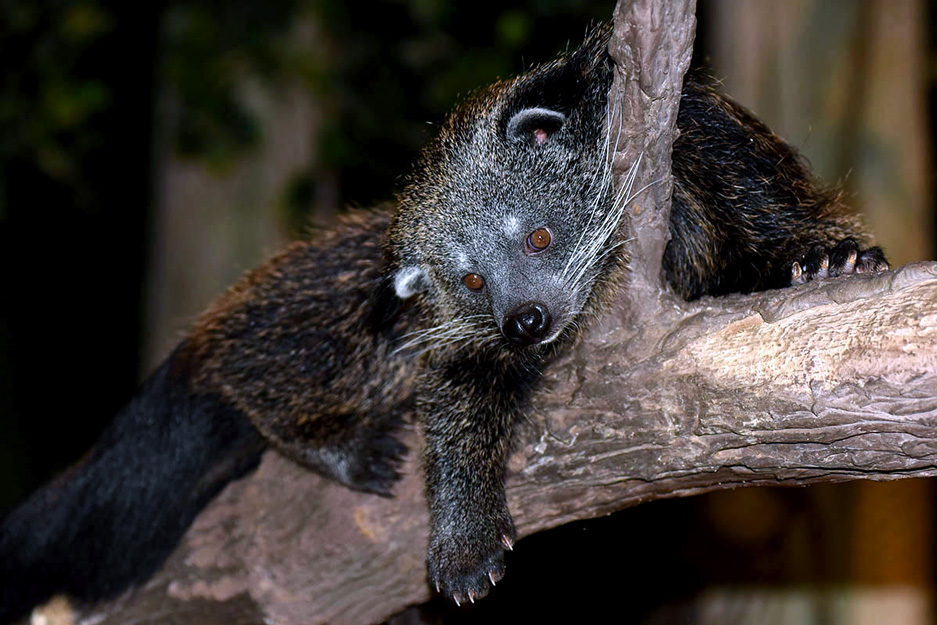 One of Brookfield Zoo's Binturong relaxes on a branch between meeting visitors as an animal ambassador (photo courtesy of the Chicago Zoological Society)