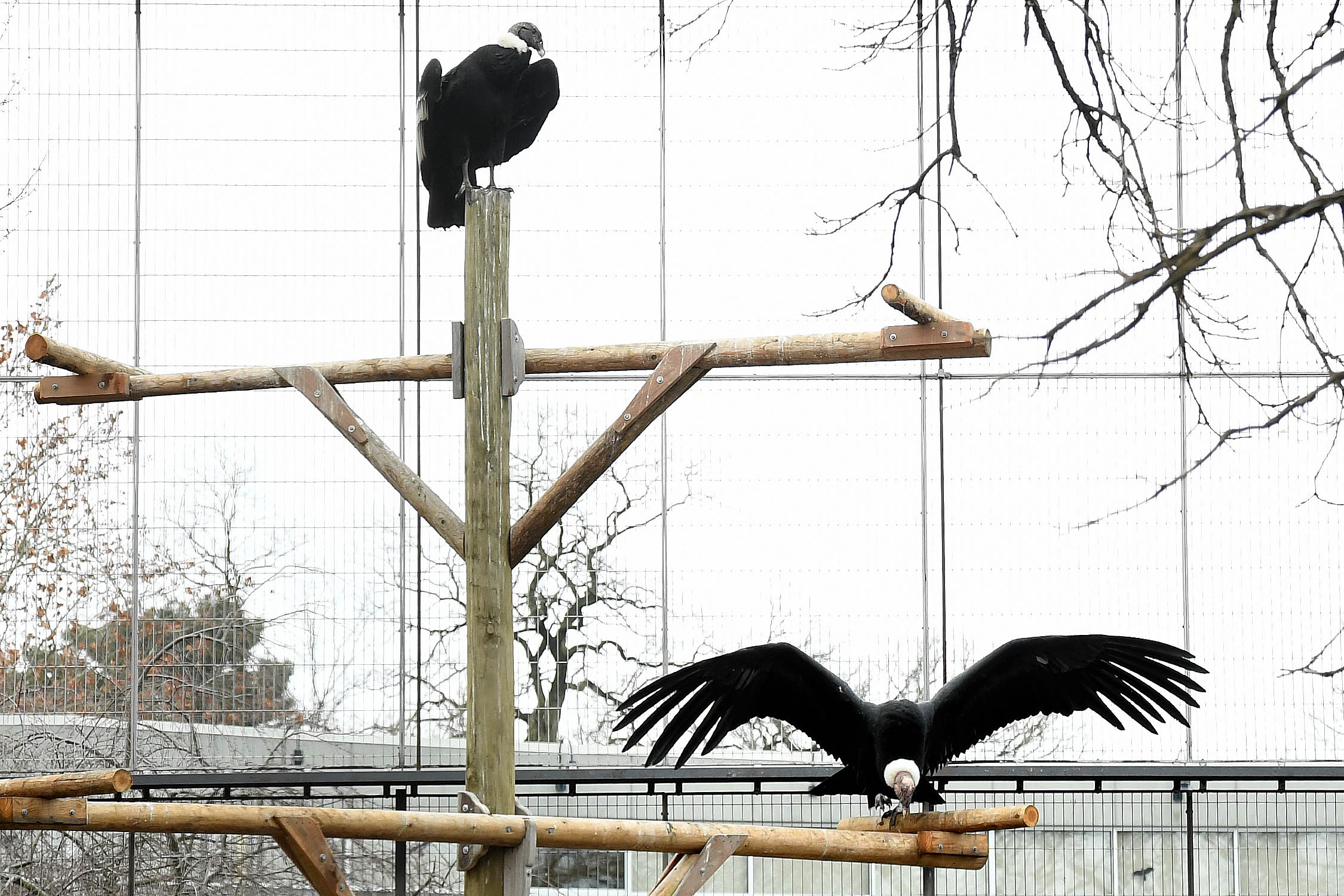 The world's largest flying bird, the Andean Condor, has a wingspan of close to 10 feet (photo courtesy of The Chicago Zoological Society, Brookfield Zoo)
