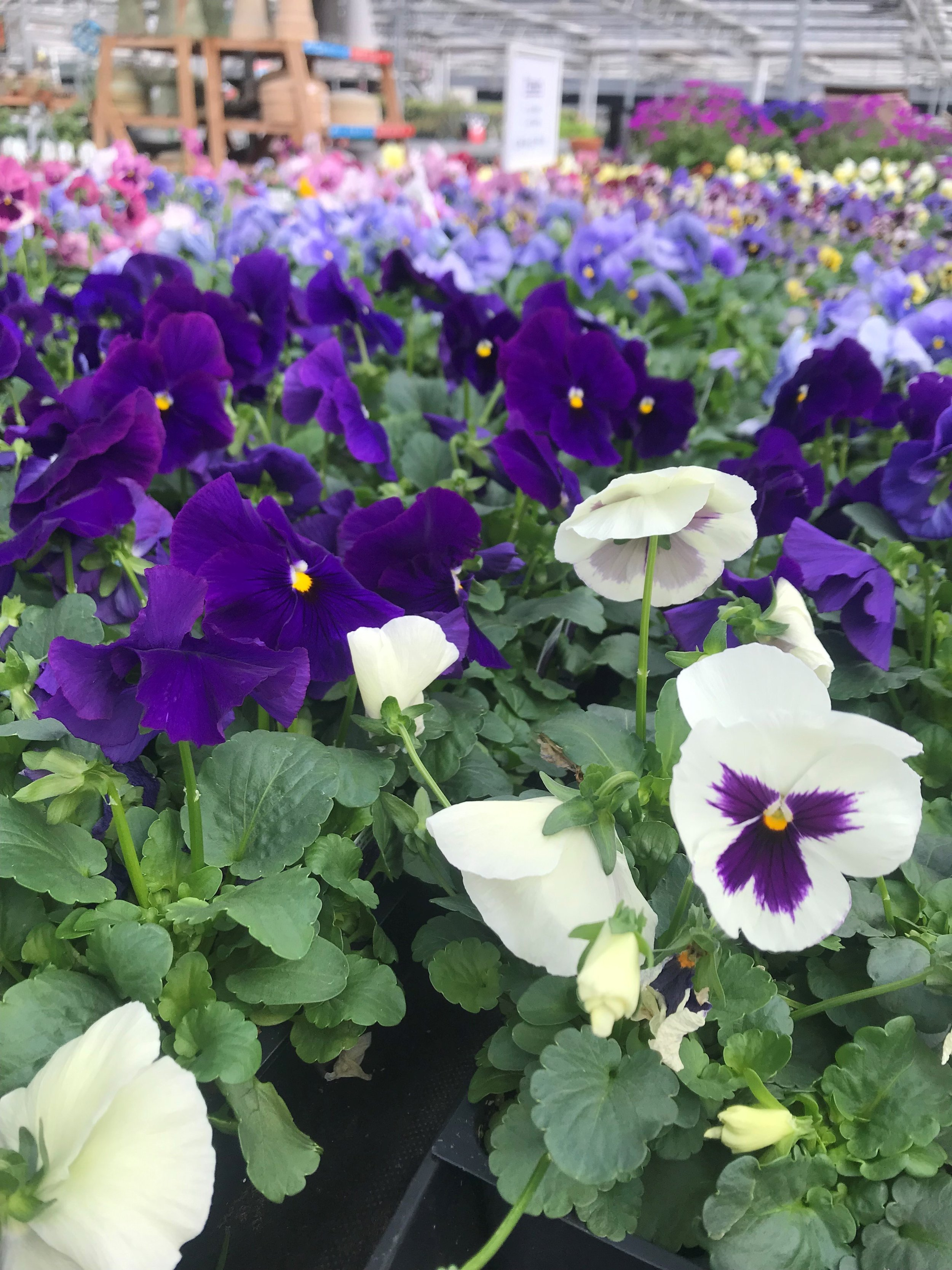 Plenty of pansies greet gardeners at Schaefer's Greenhouses in Montgomery