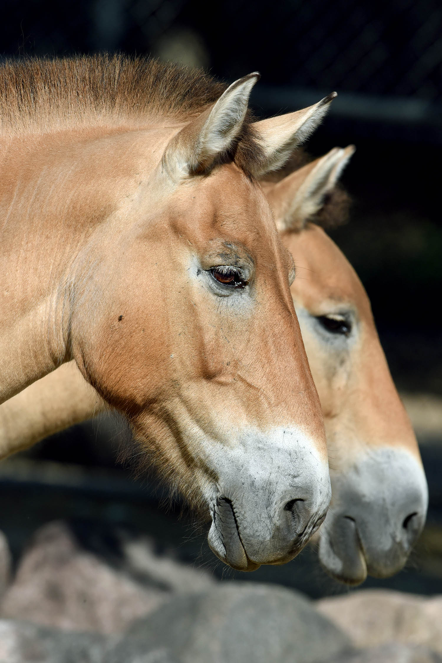 Przewalski's Horse is thought to be the 'original' horse species. A trio of mares are on display at Brookfield Zoo (photo courtesy of the Chicago Zoological Society/Brookfield Zoo)