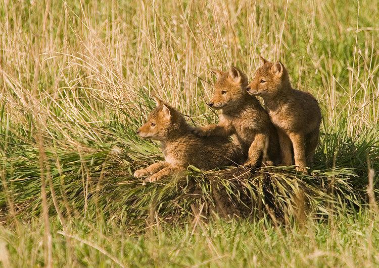 Coyote-2.jpg