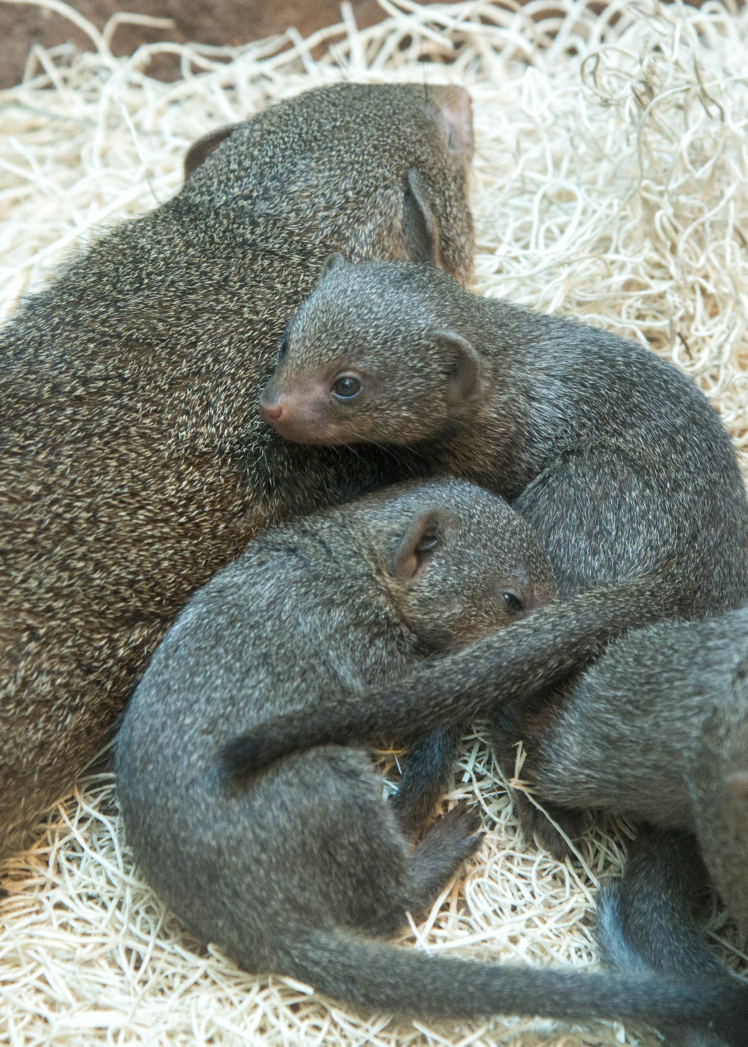 mongoose-2.jpg