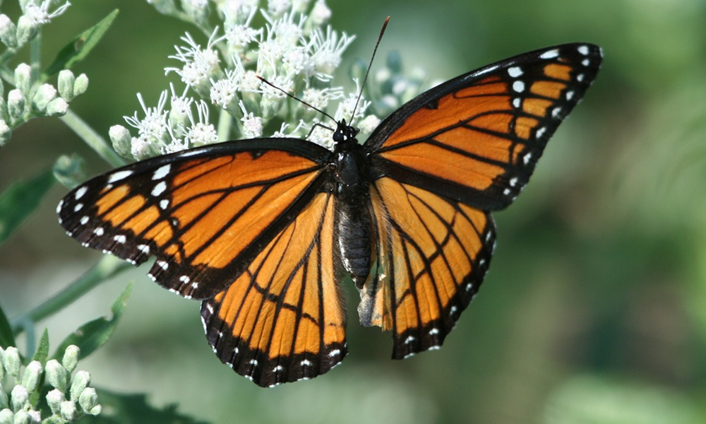 the orange and black Viceroy is Frequently confused with Monarch butterfly, both are common to Dupage county