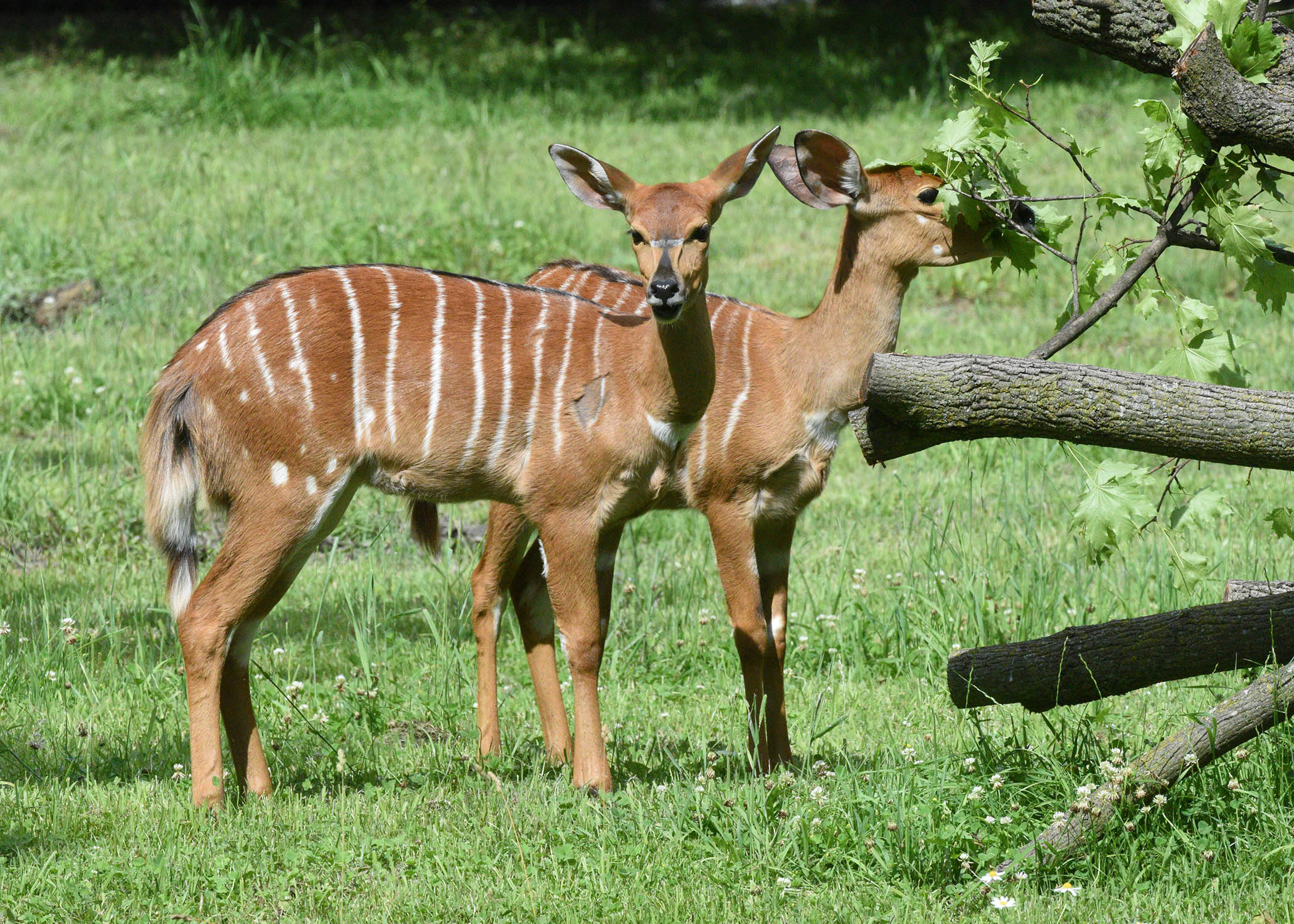 Two of Brookfield Zoo's Nyala, a new species of antelope for the zoo (photo courtesy of Brookfield Zoo)