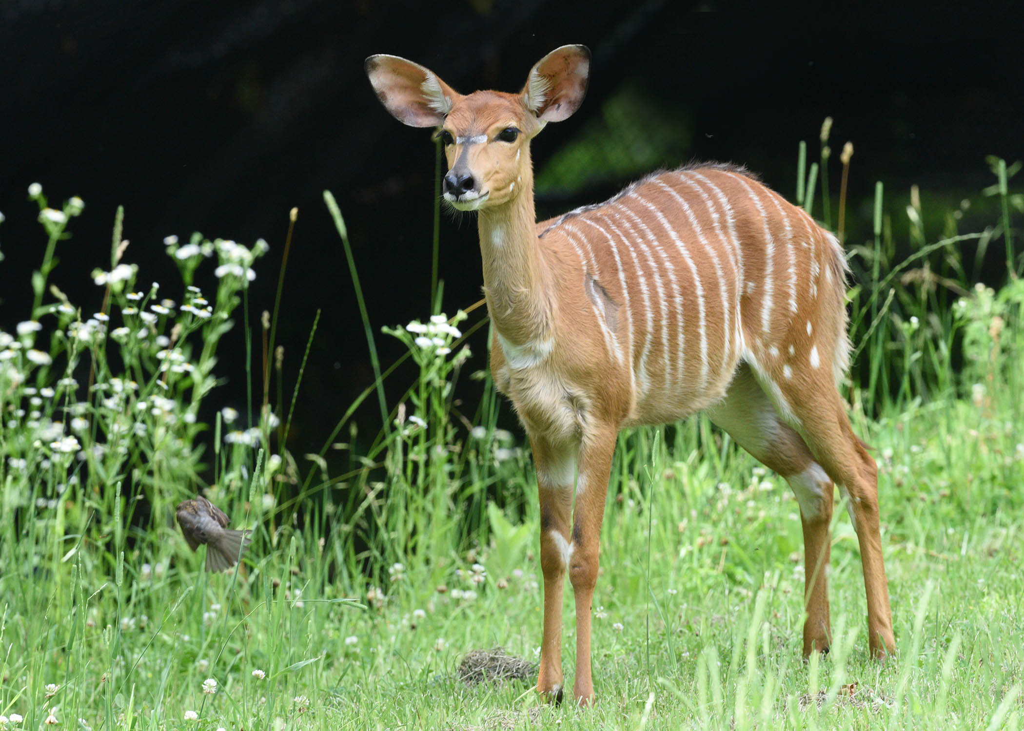 Nyala, a medium sized antelope, are acclimating to their new home at Brookfield Zoo  (photo courtesy of Brookfield Zoo)