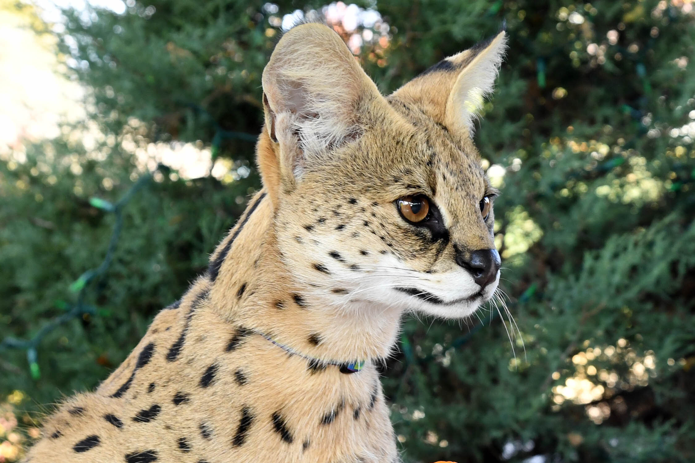Serval-1.jpg