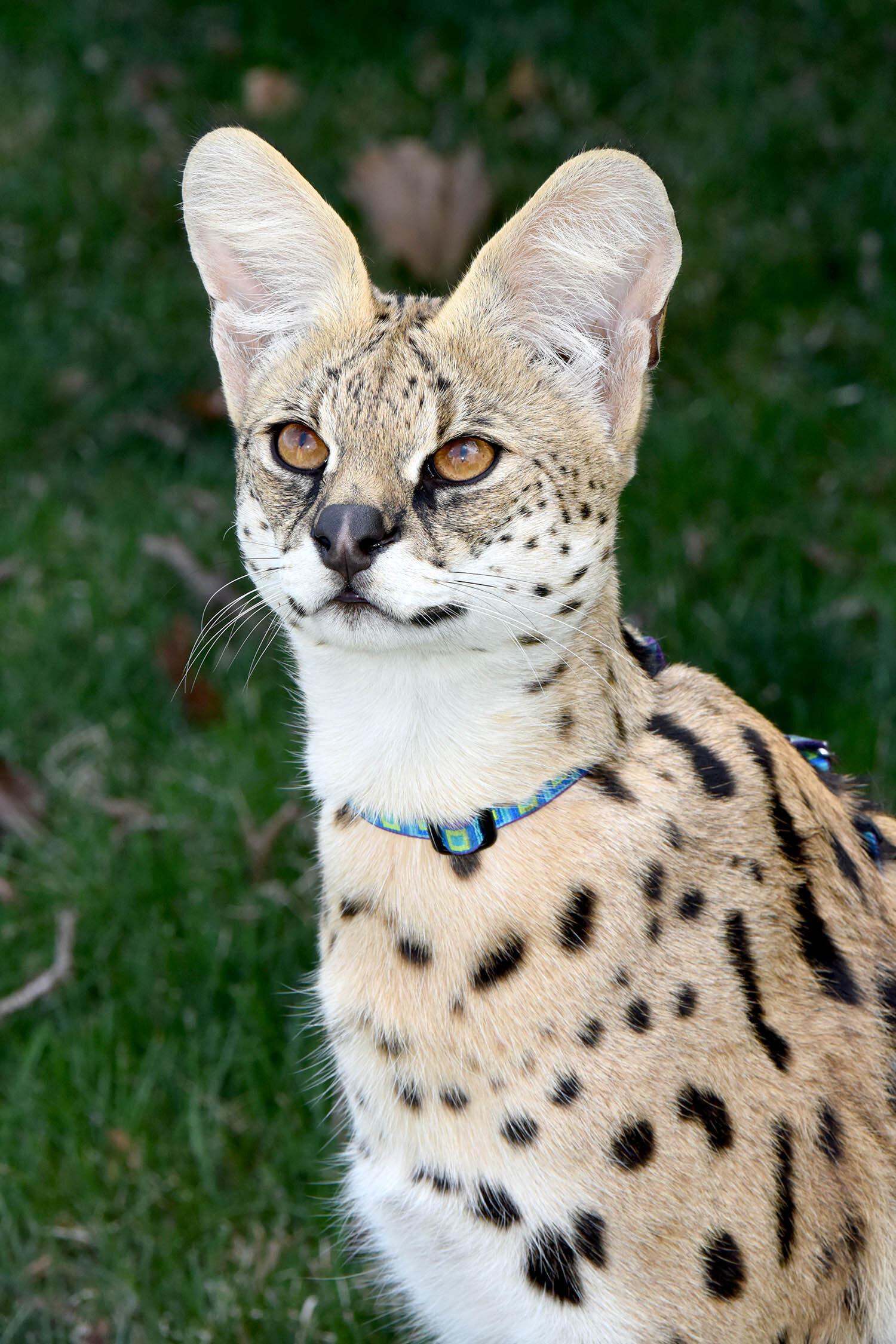 Serval-2.jpg