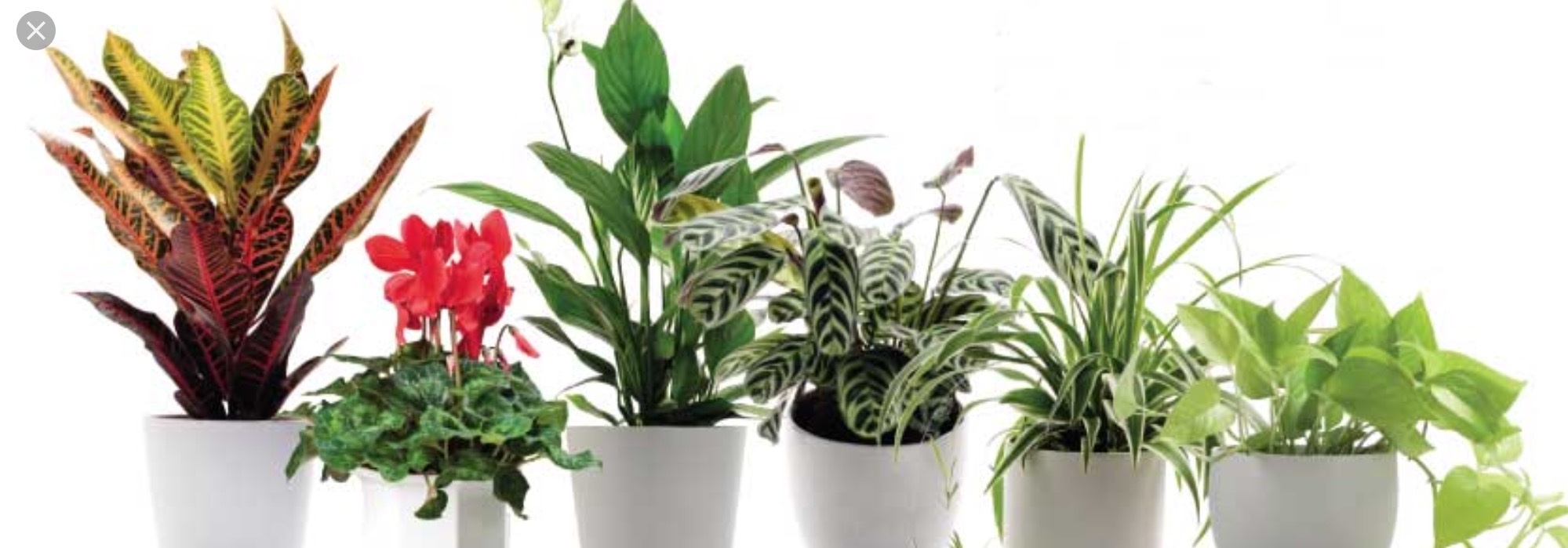 Houseplants for clean air