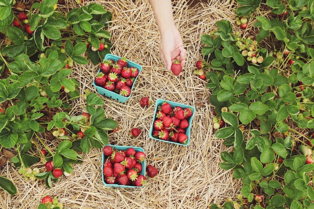 health benefits of berries strawberries reboot sara davenport.jpg