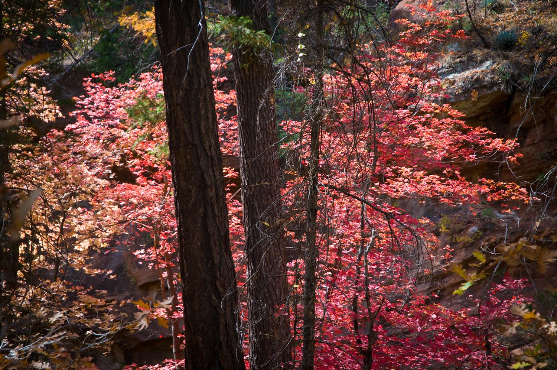Red Maples  Oak Creek Canyon, AZ