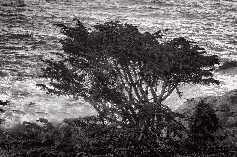 Rocky Point Tree   California Coast