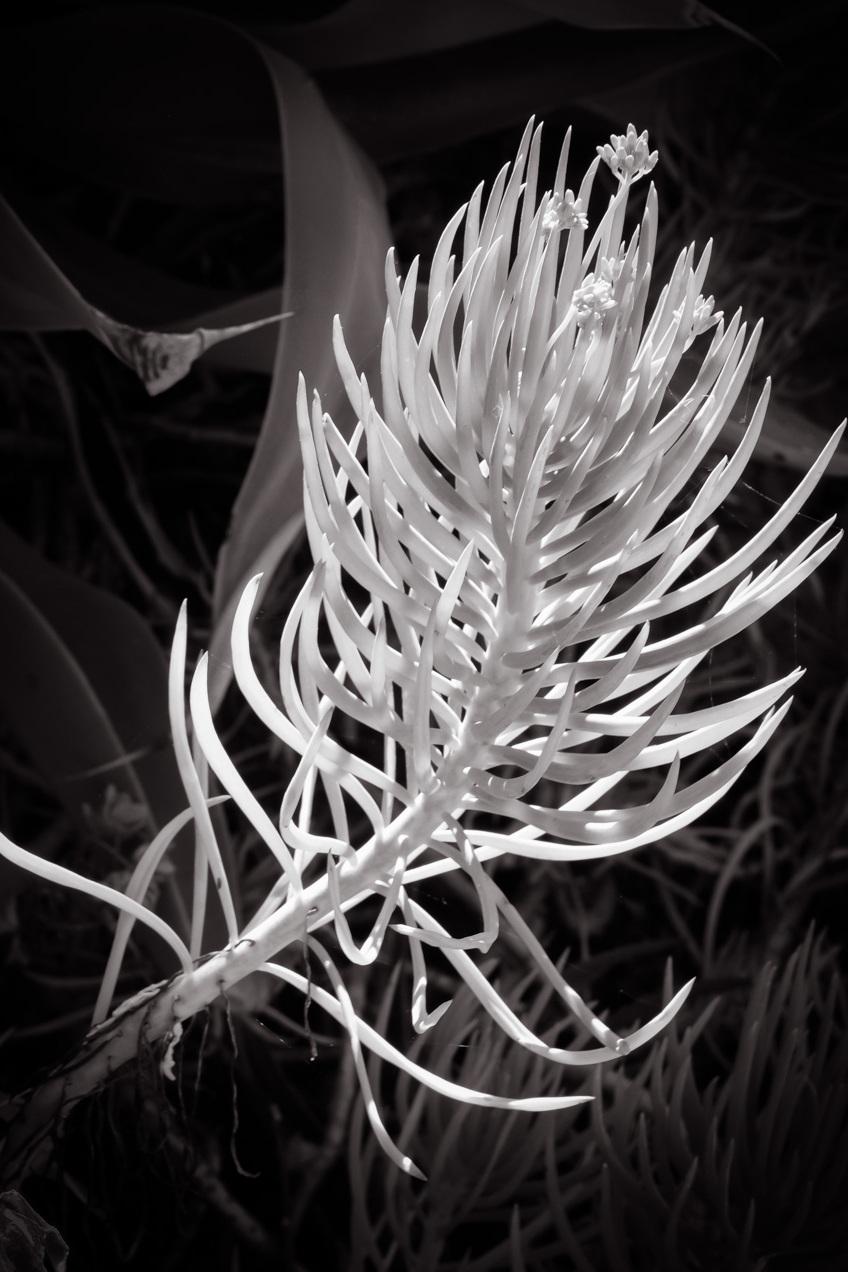 Santa Barbara Succulent
