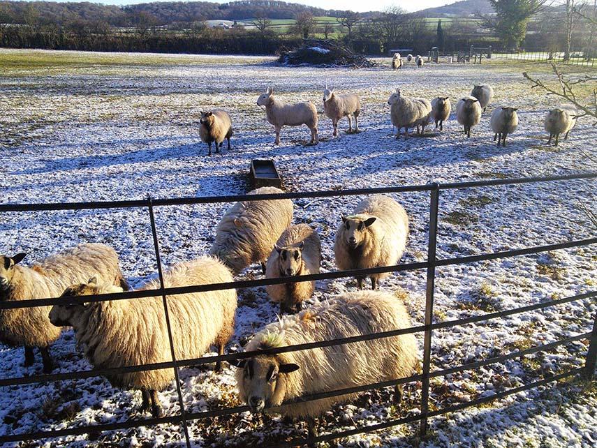 Copy of Sheep