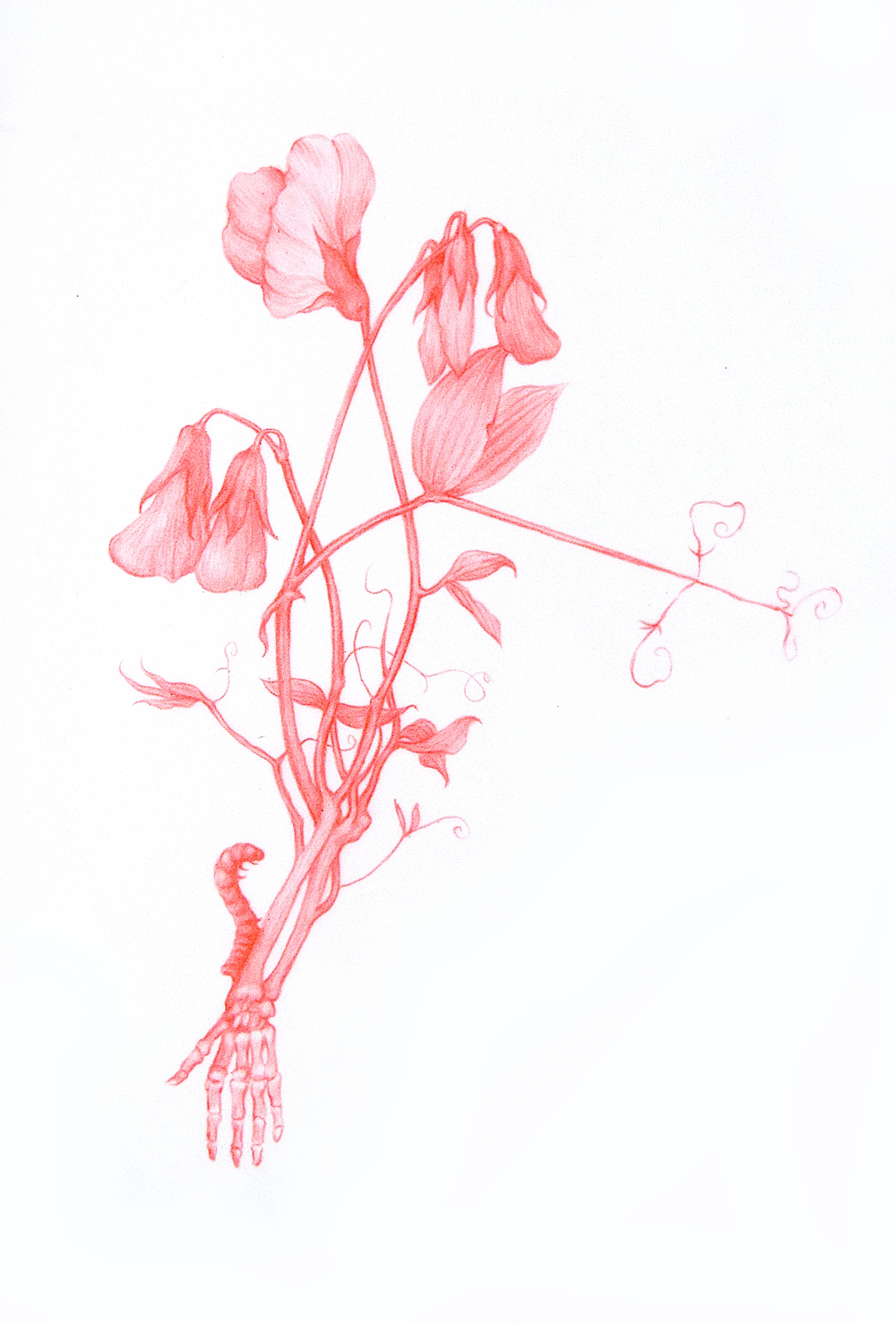 "ZACHARI LOGAN  Sweet Peas from Wildflowers Series 2018 Red pencil on mylar 4.5"" x 7"", Framed  Estimated Value: $1200  The series of drawings that this work is a part of, the ""Wildflower Series"" represent an imagined encroachment on the body, a regrowth or overgrowth if you will. These symbolize a state of embodied desire, while reflecting the reality of human dependence on plant life, often in the form of human limb(s) representing portions of stems, root-systems or feature of a flower such as stamen or pedals, reflecting the reality of human dependence on plant life."""