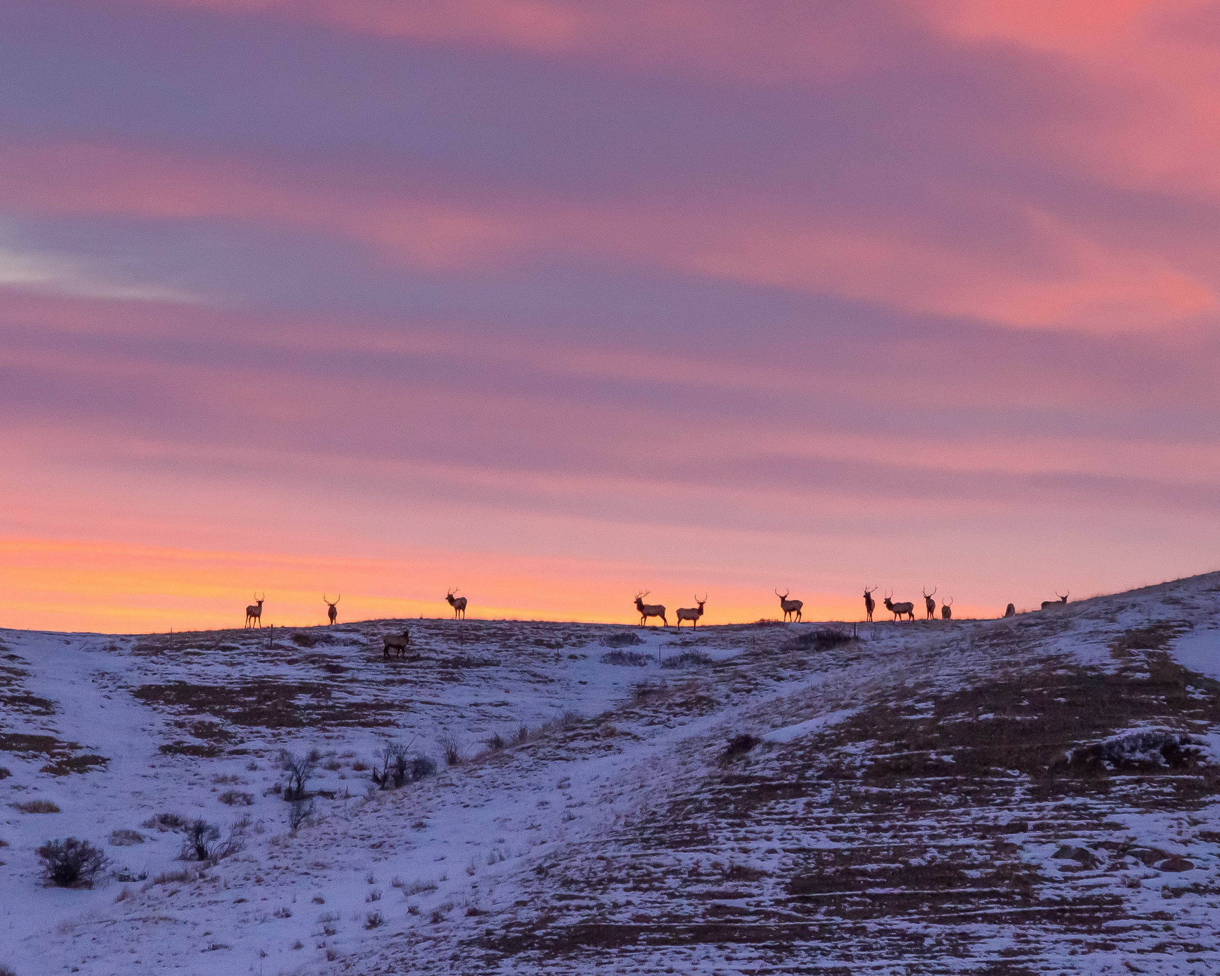 13 Bull Elk Watching the Rising Sun