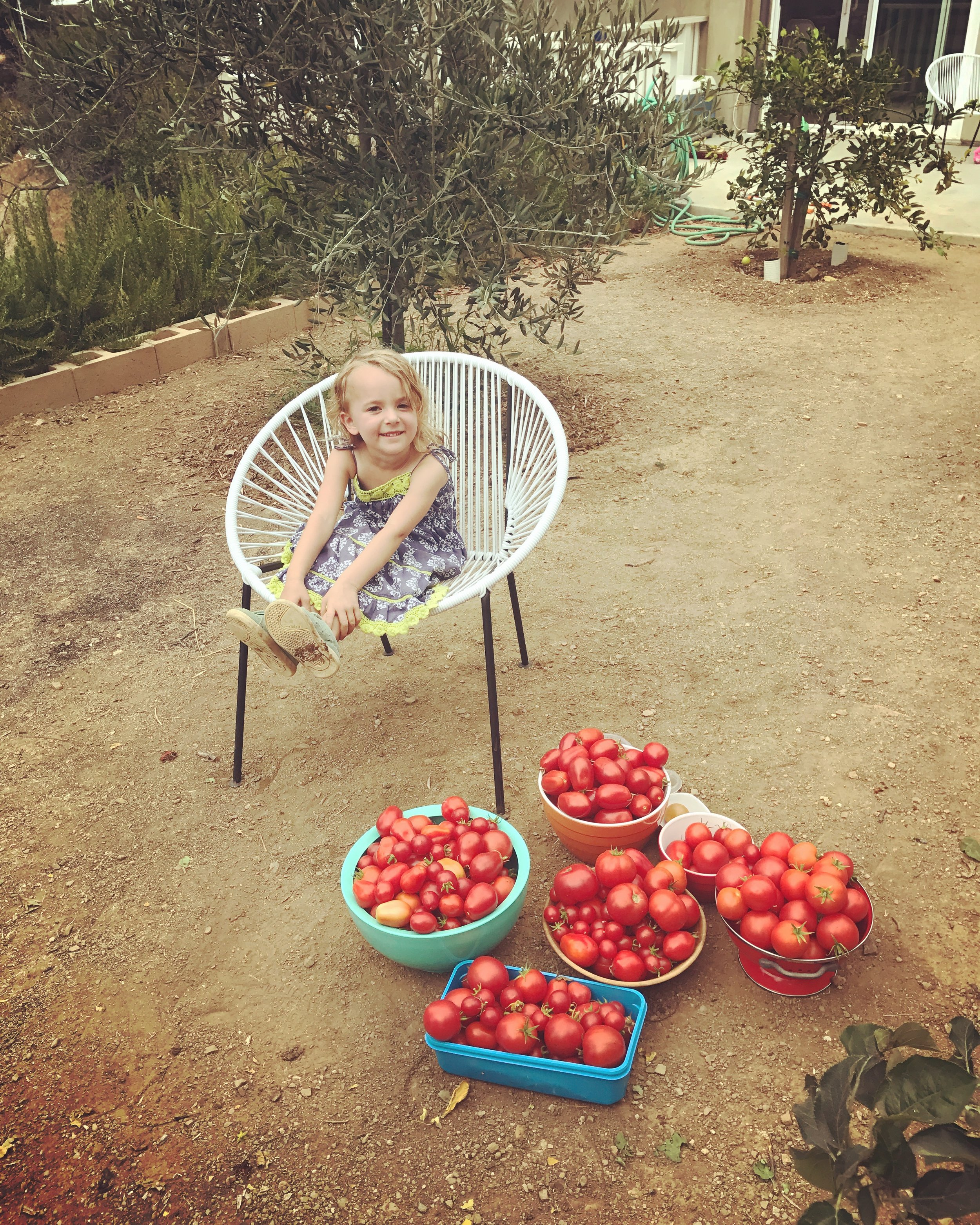 We picked this many tomatoes every week!