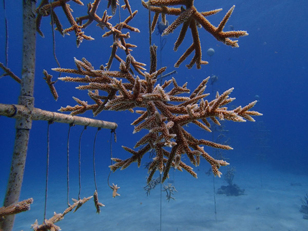 Staghorn-at-Cane-Bay-Nursery-on-Coral-Tree-2.jpg