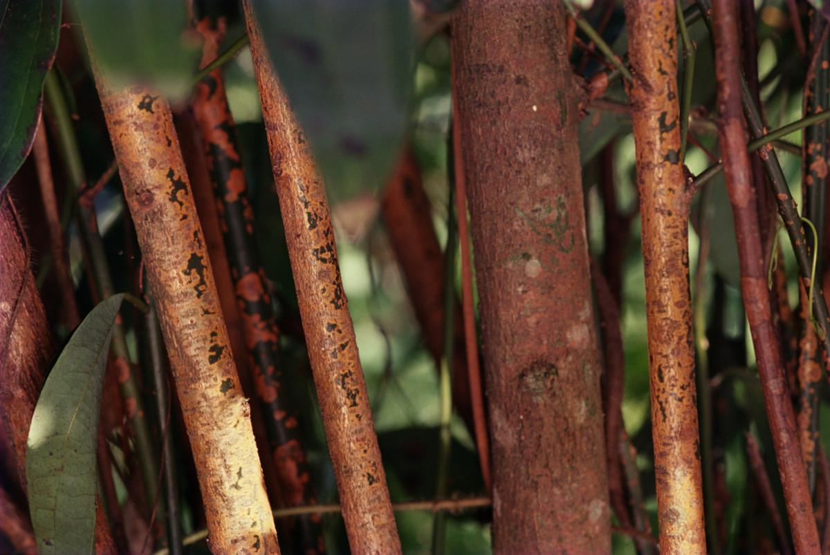 Cinnamon trees.jpg