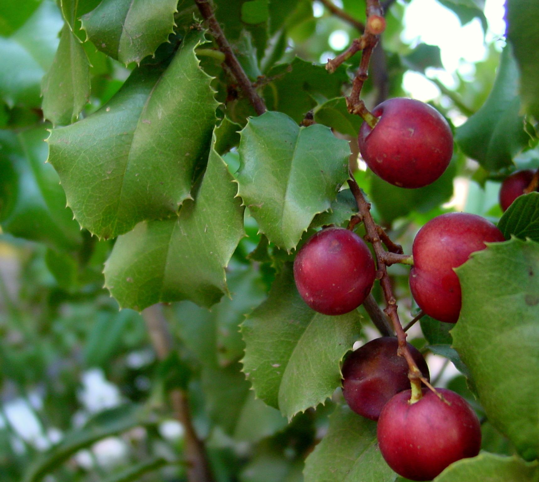 Pokker, wild cherry ( Prunus ilicifolia).  Photo courtesy  Noah Elhardt , CC BY 2.5