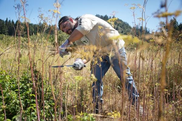 Abran Lopez removes invasive poison hemlock from Quiroste Valley. Photo courtesy Richard Morgenstein.