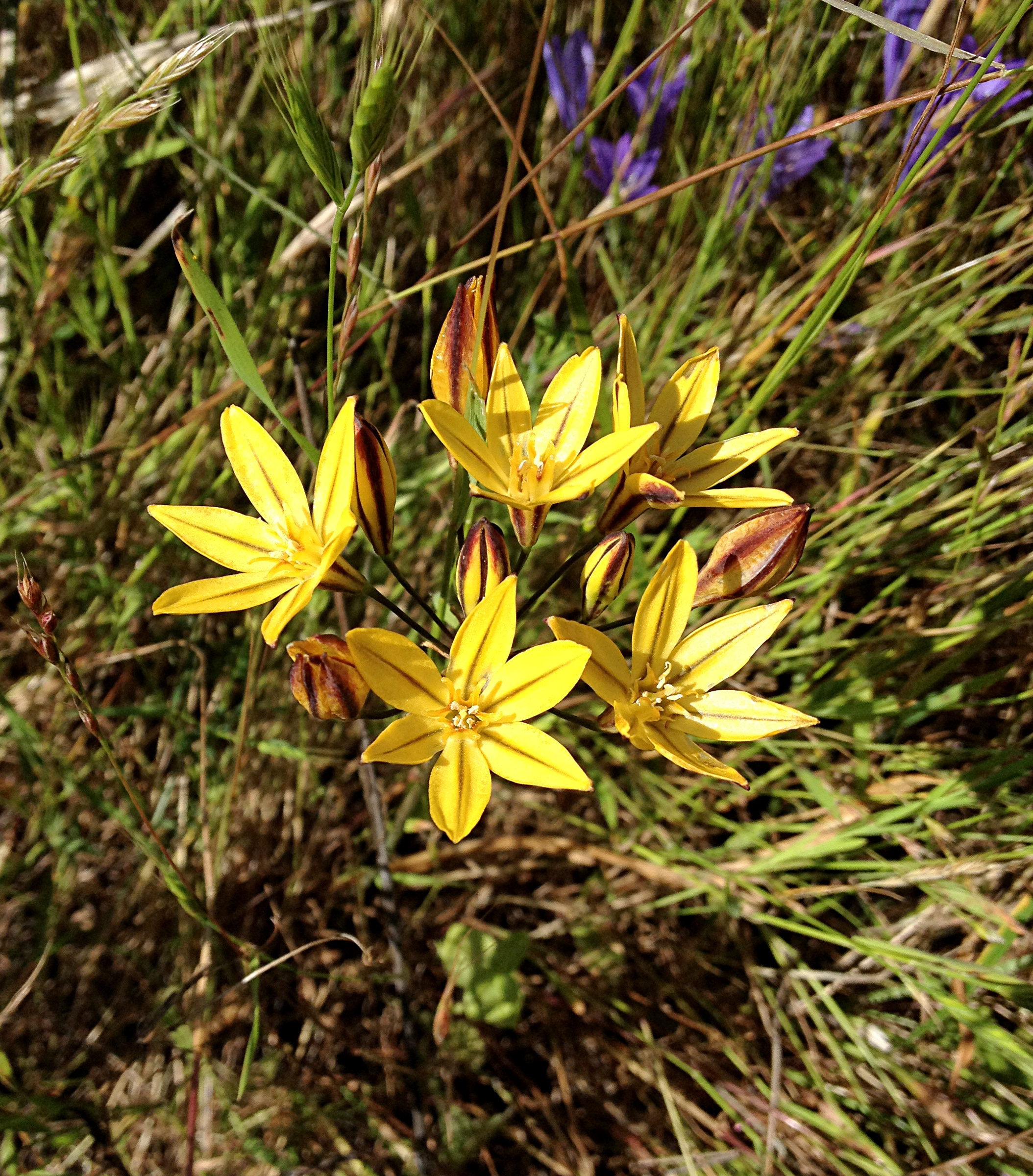 Golden Brodiaea (Triteleia ixioides) at CCD site. Photo curtesy of Rob Cuthrell