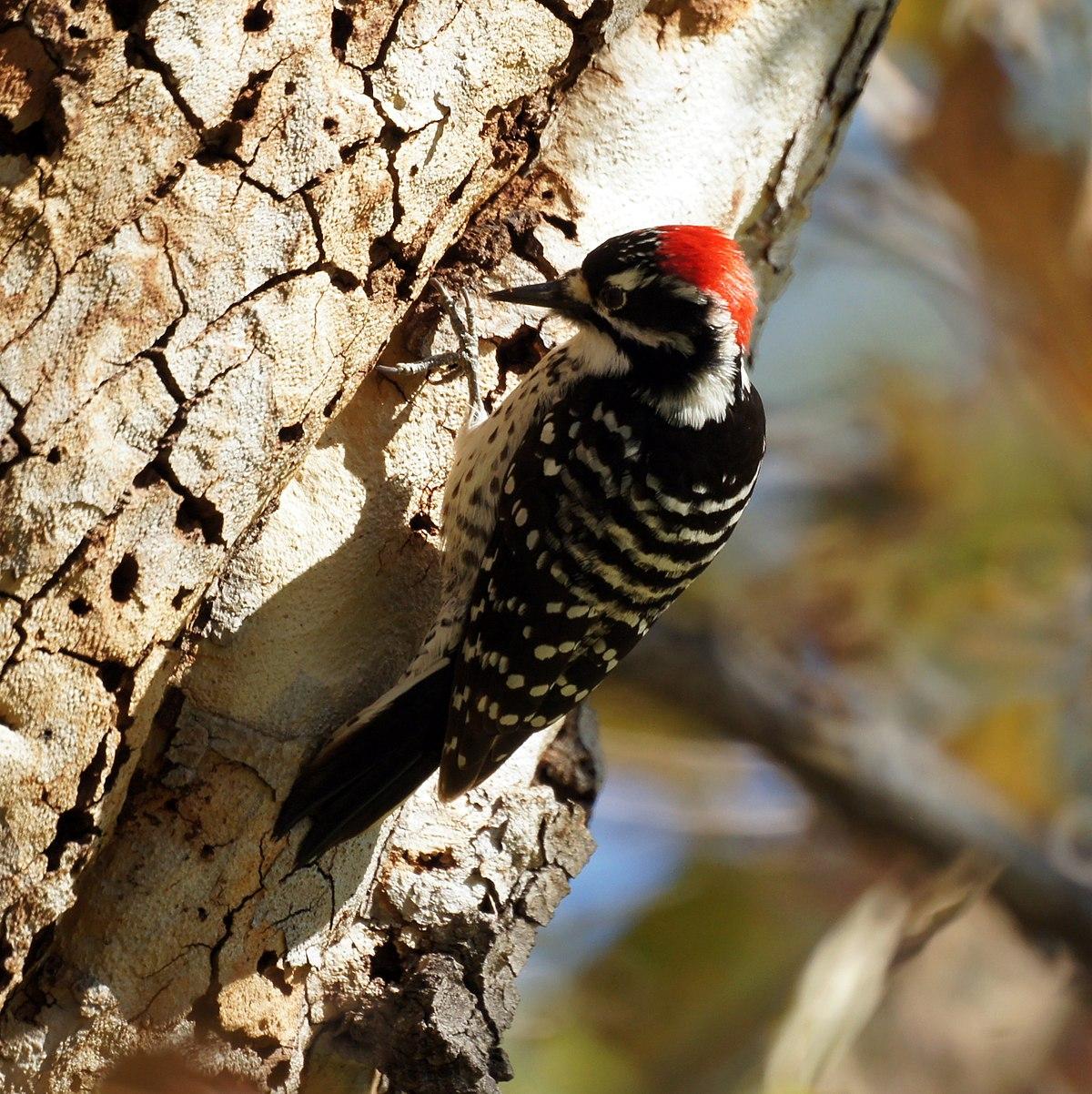 Nuttal's woodpecker