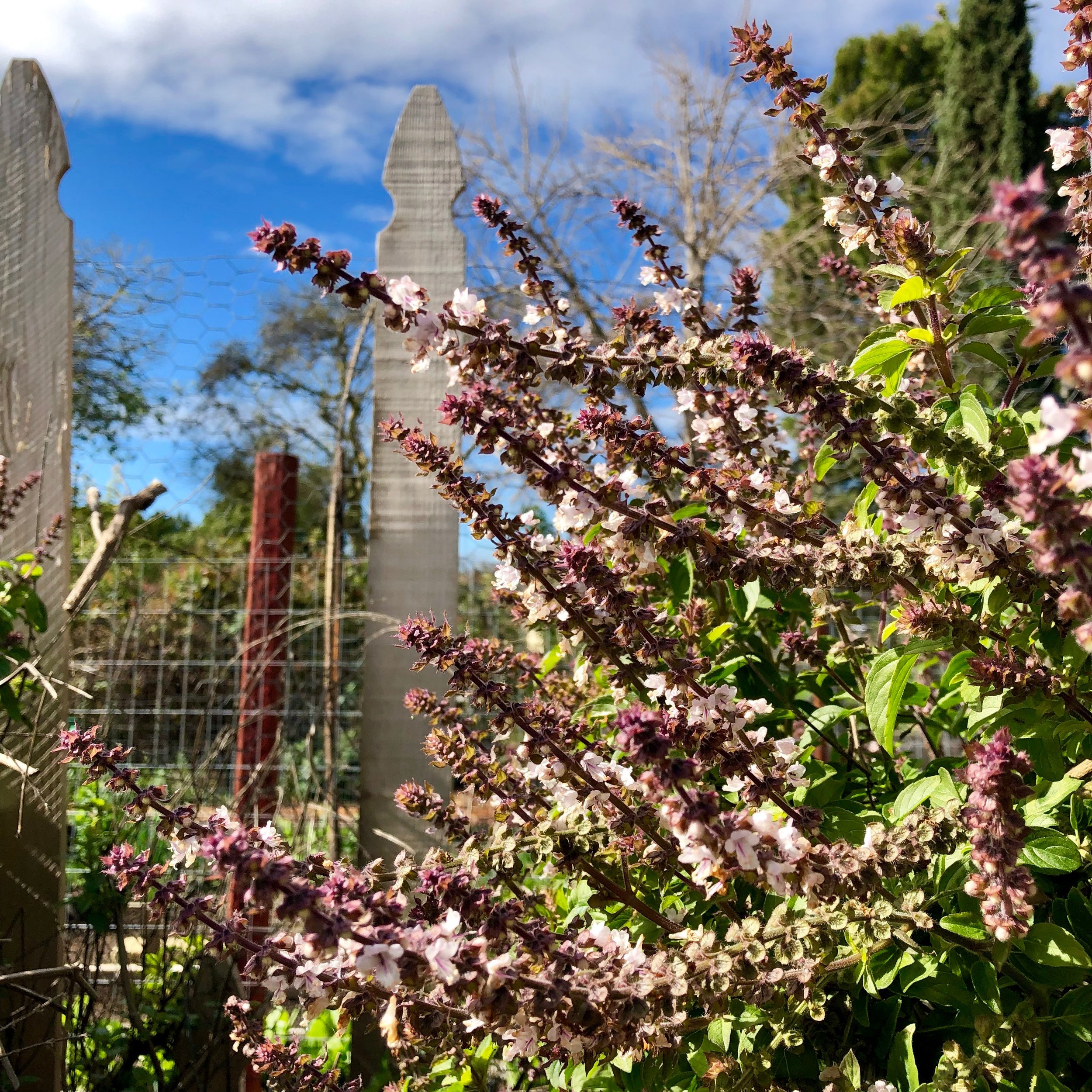 "Perennial Purple Basil, sometimes called ""Pink"" or ""White"" perennial basil. Ocimum basilicum ssp."