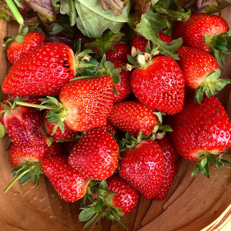 strawberry harvest cu.jpg