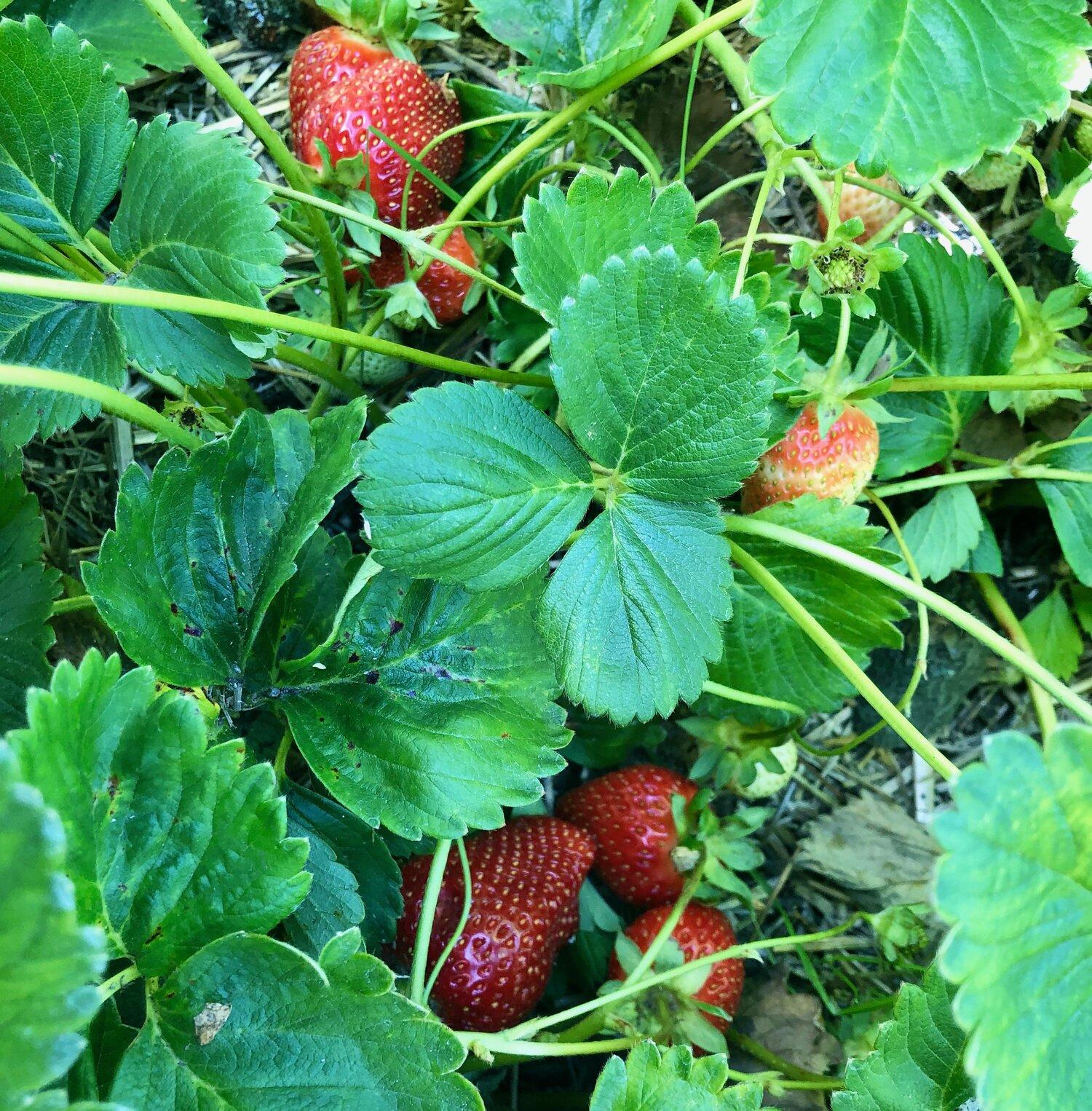 strawberry under leaves.jpeg