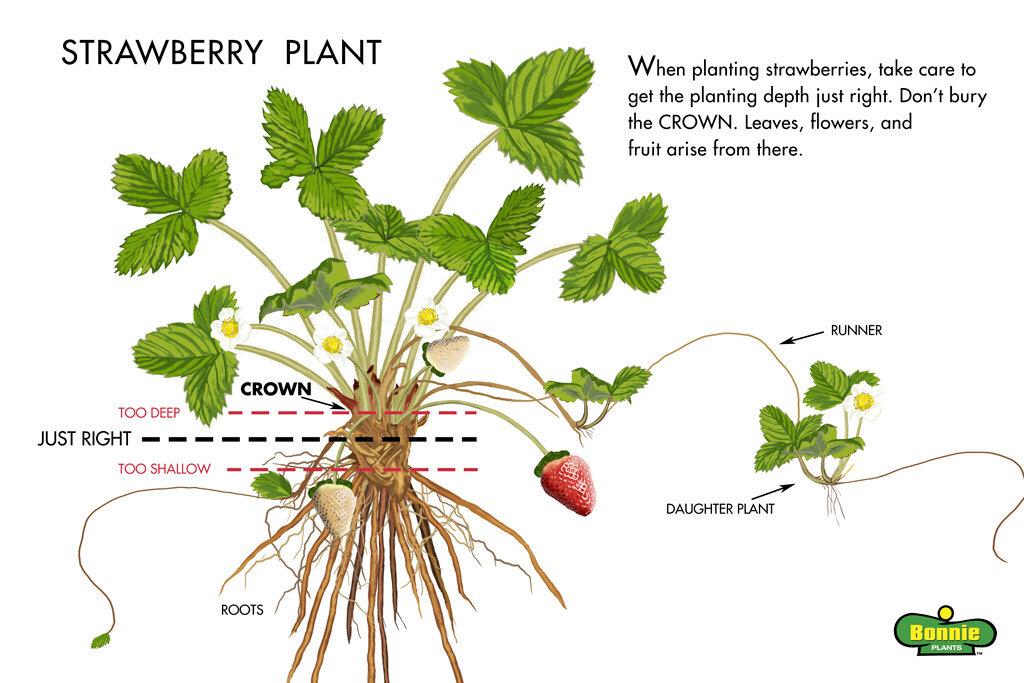 strawberry-plant-Illustration-web.jpg