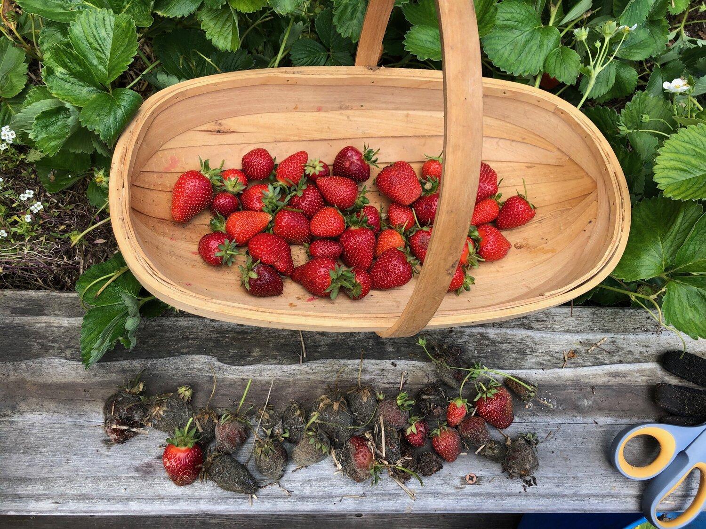 check your berries often!