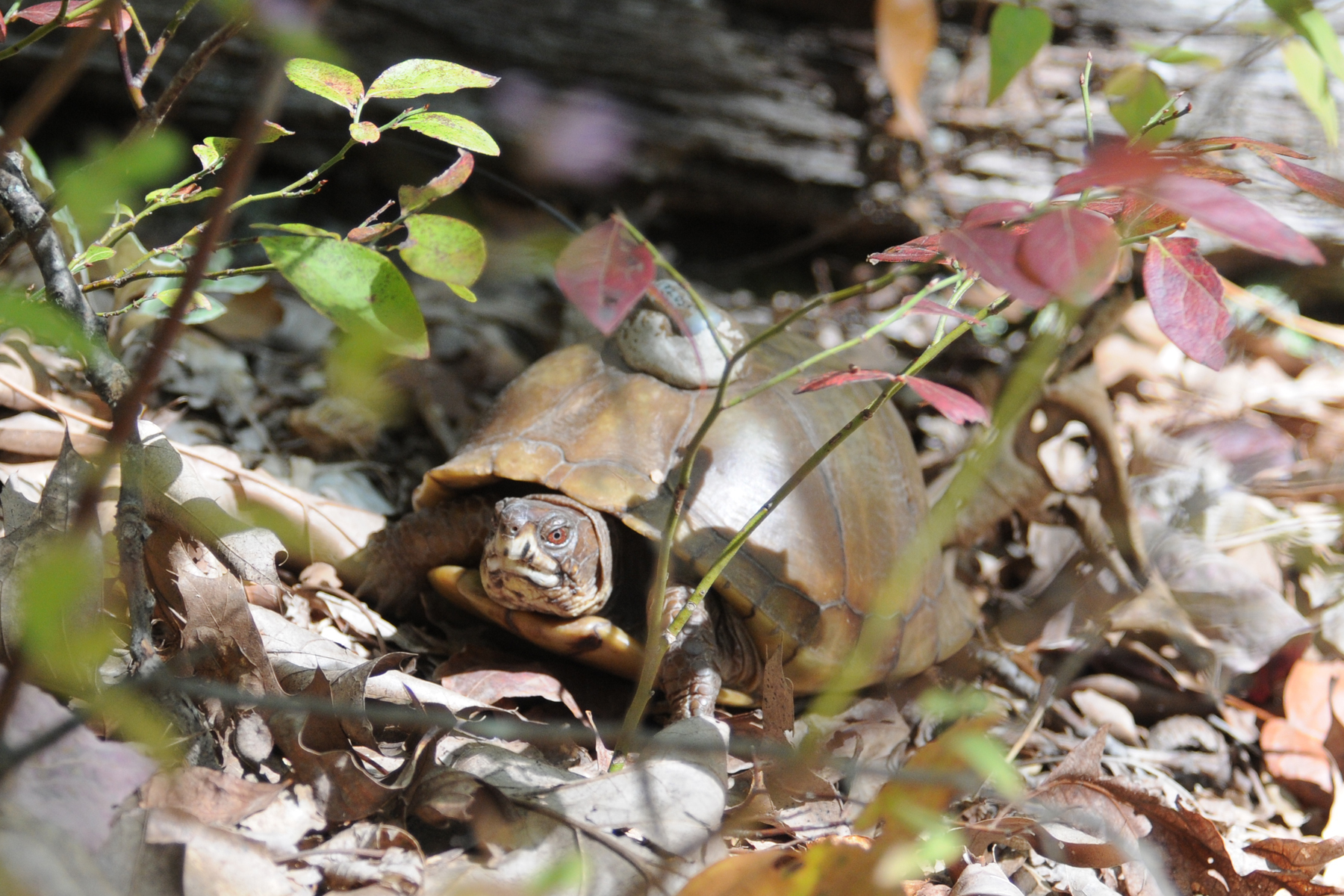 turtle in veg.jpg
