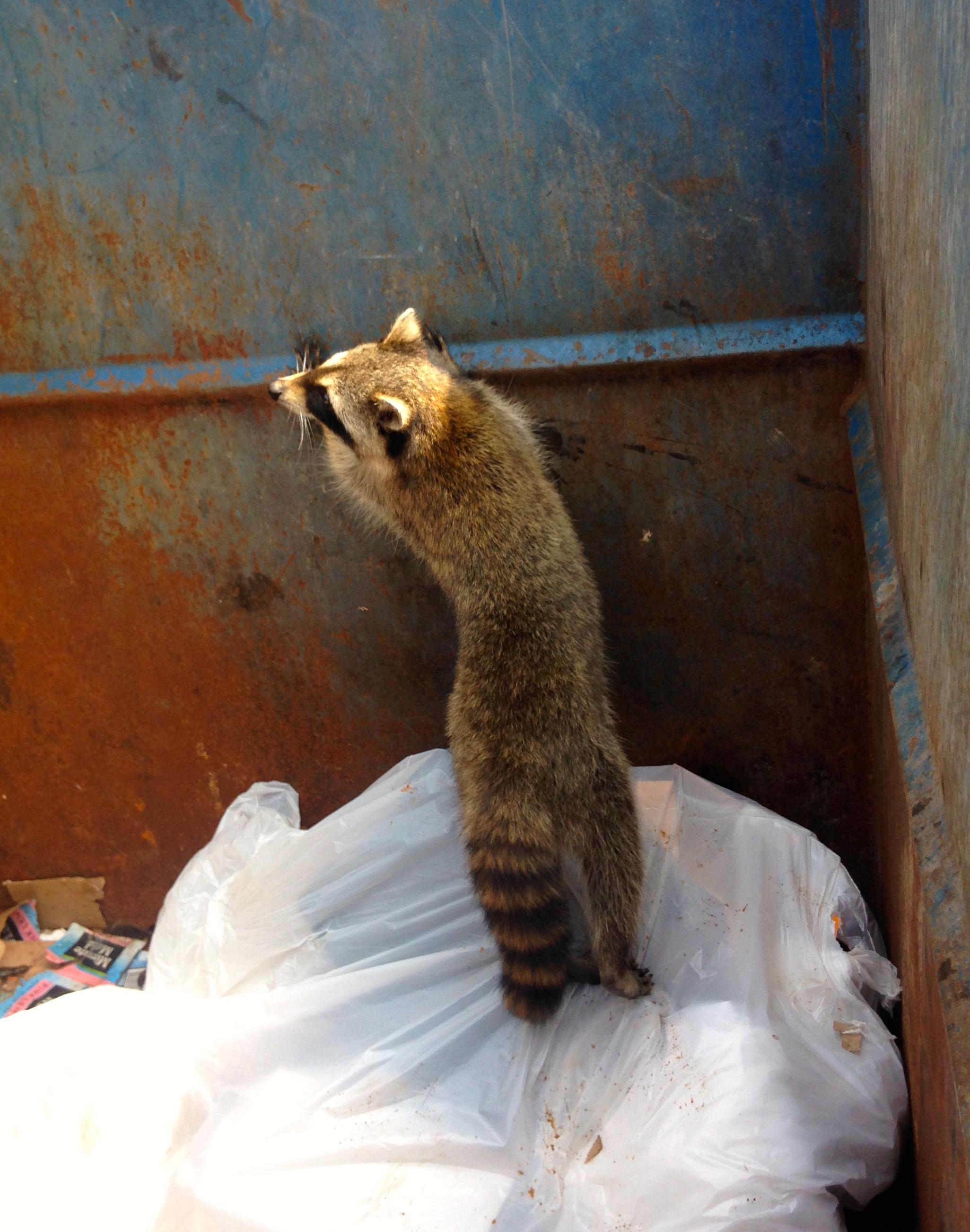 Raccoon 1.jpg