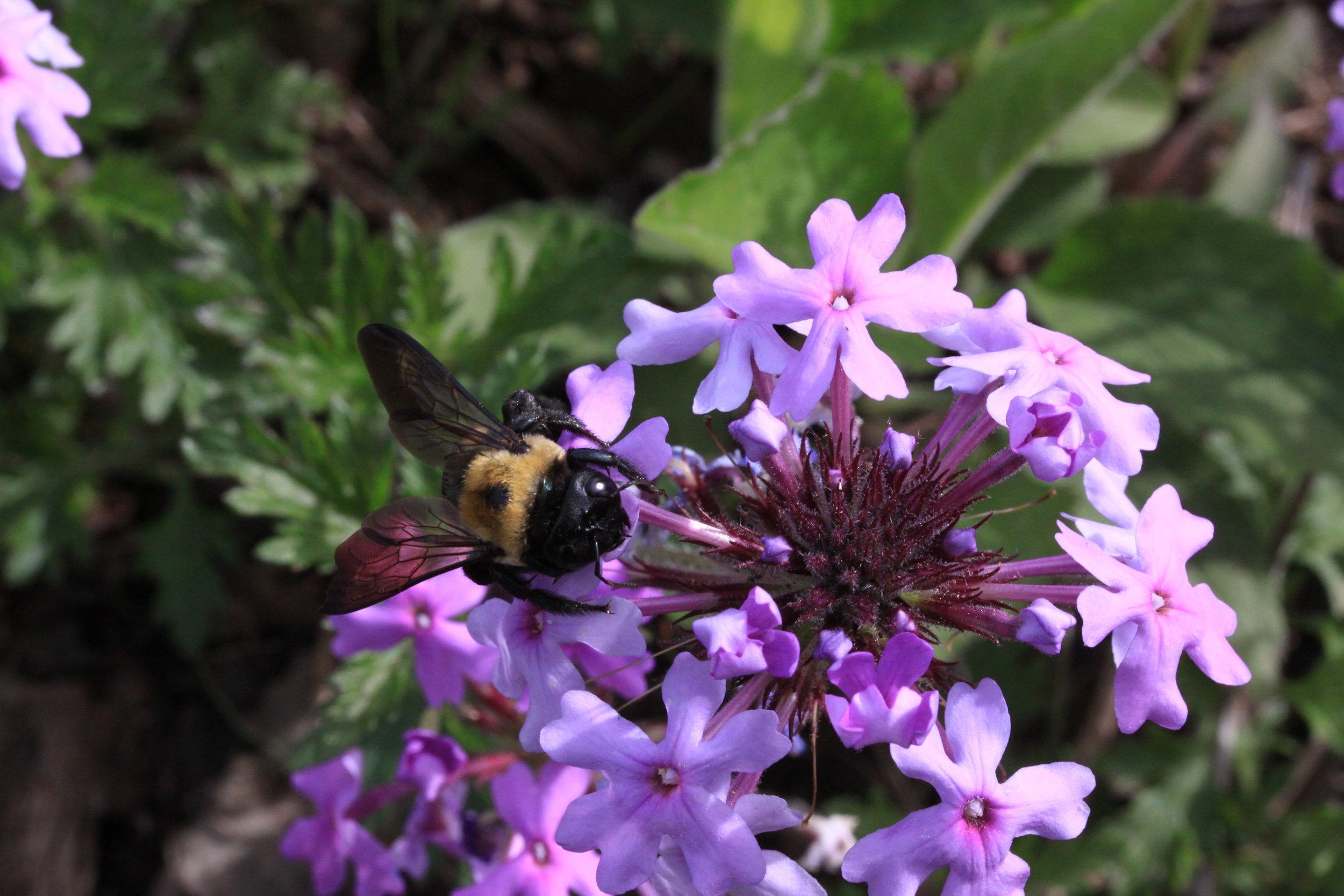 Pollinator on Rose verbena.JPG