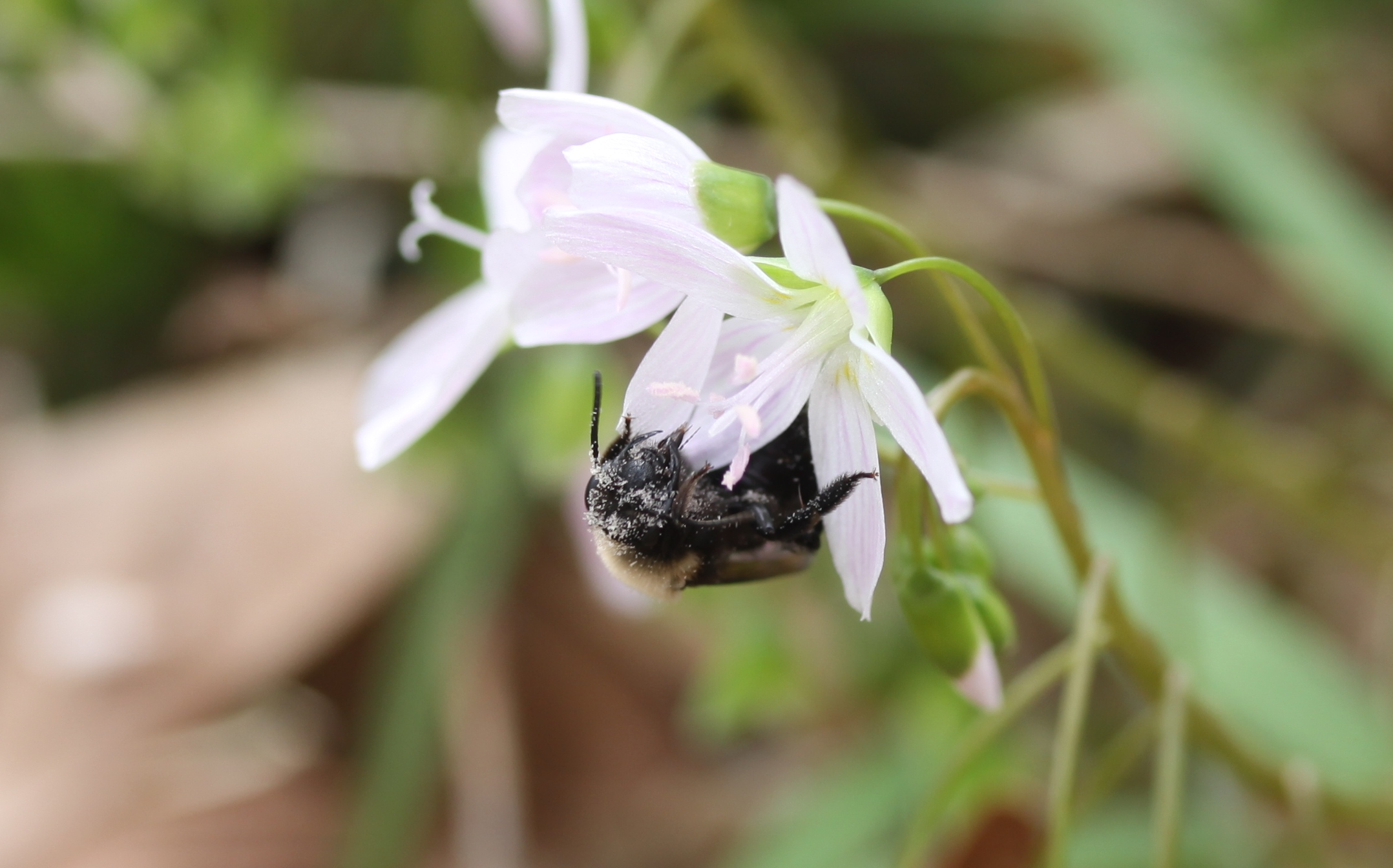 Pollinator on Spring Beauty.JPG