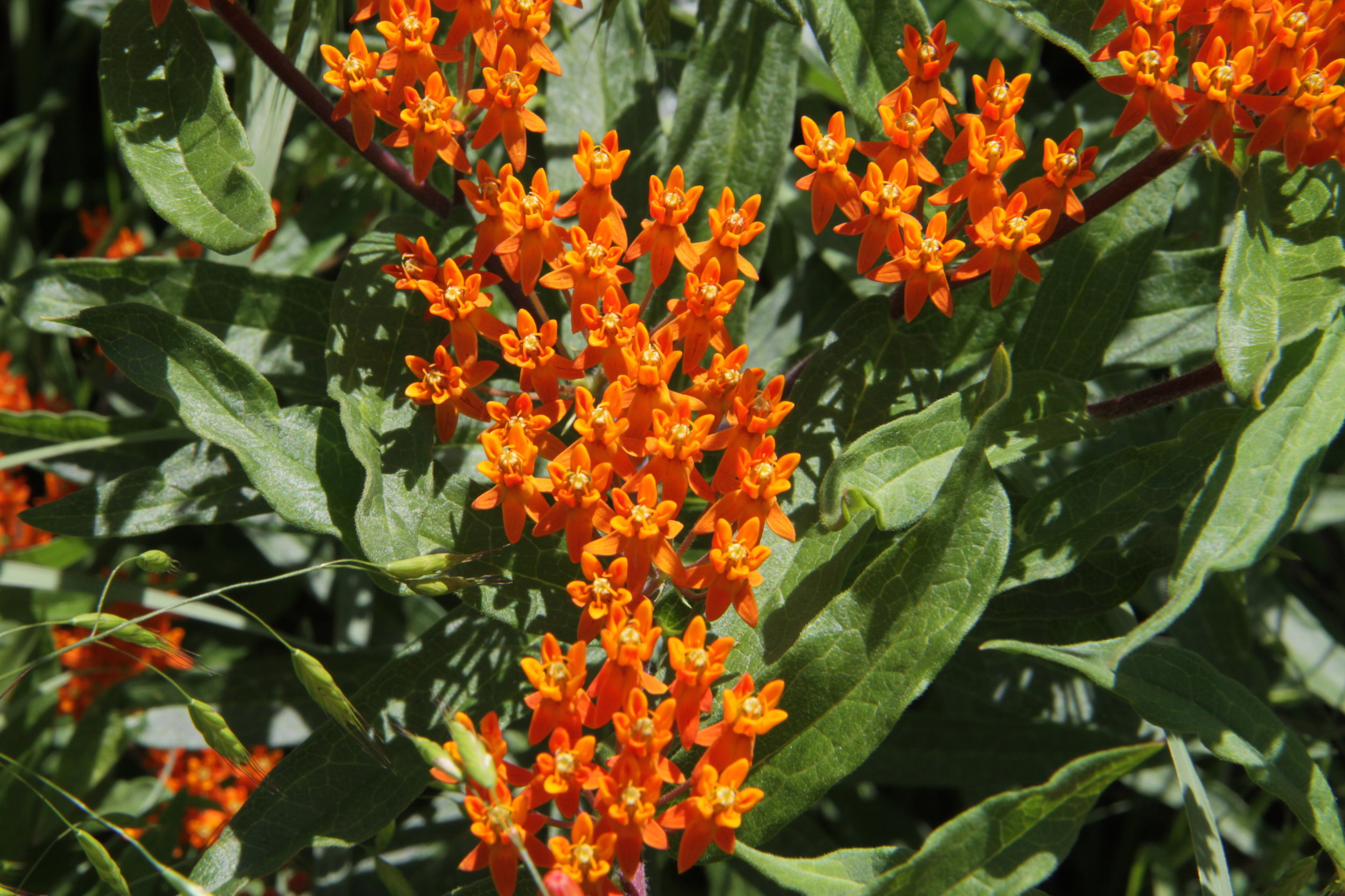 Butterflyweed (Asclepias tuberosa).JPG