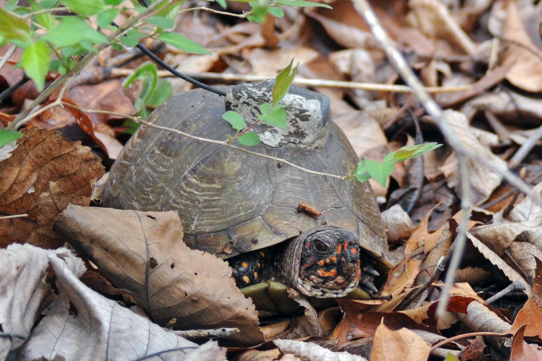 tagged turtle in leaves.jpg